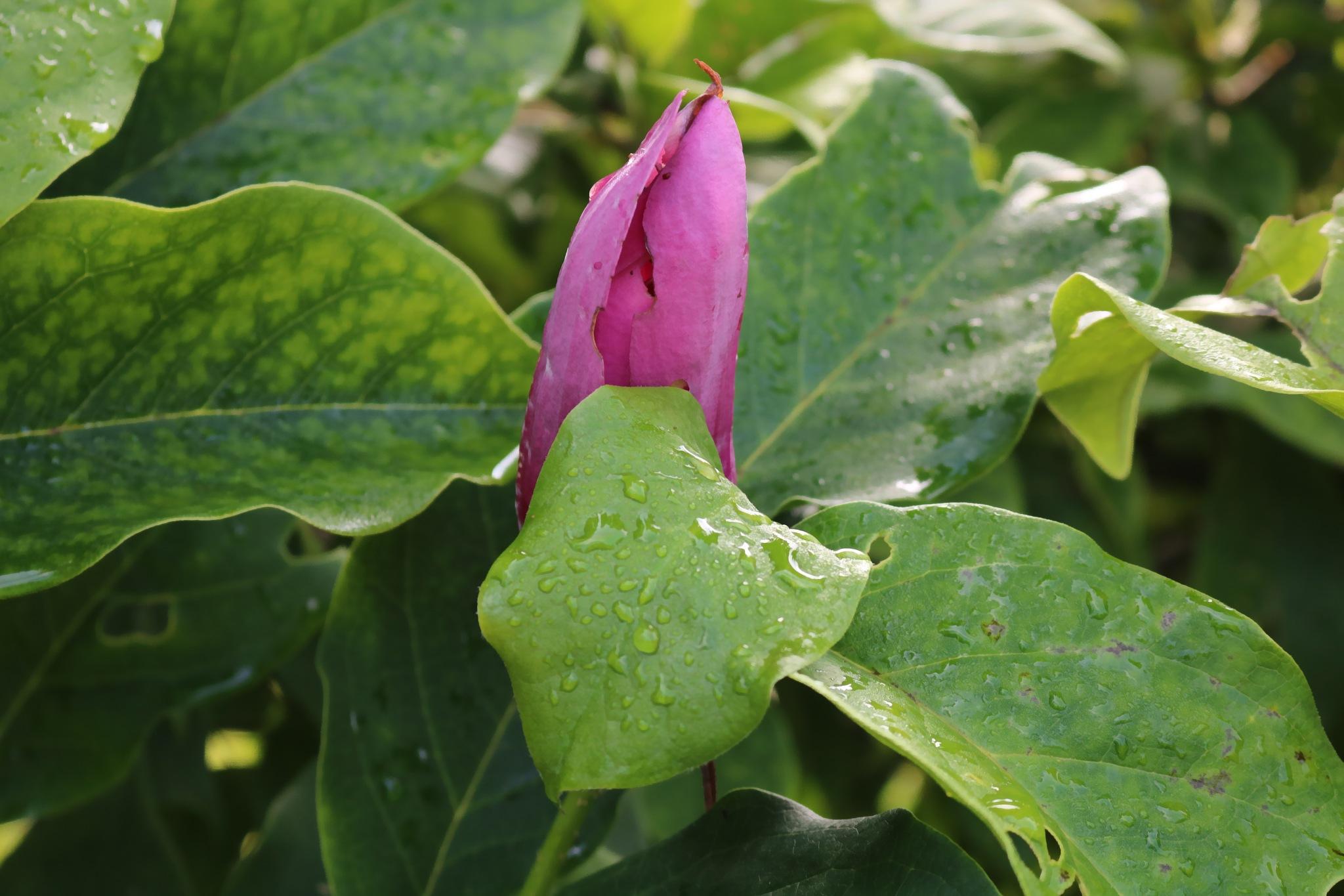 Magnolia by zvnktomasevic