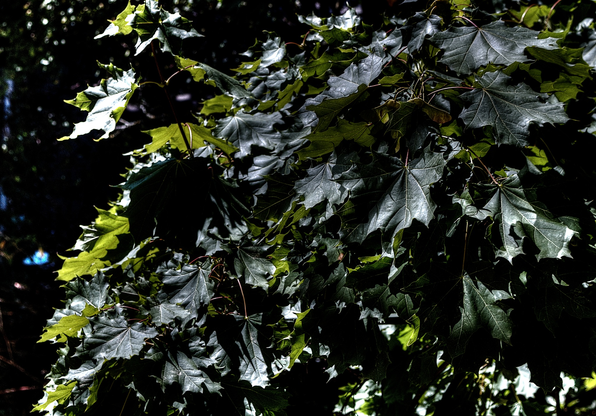 Acer platanoides by zvnktomasevic