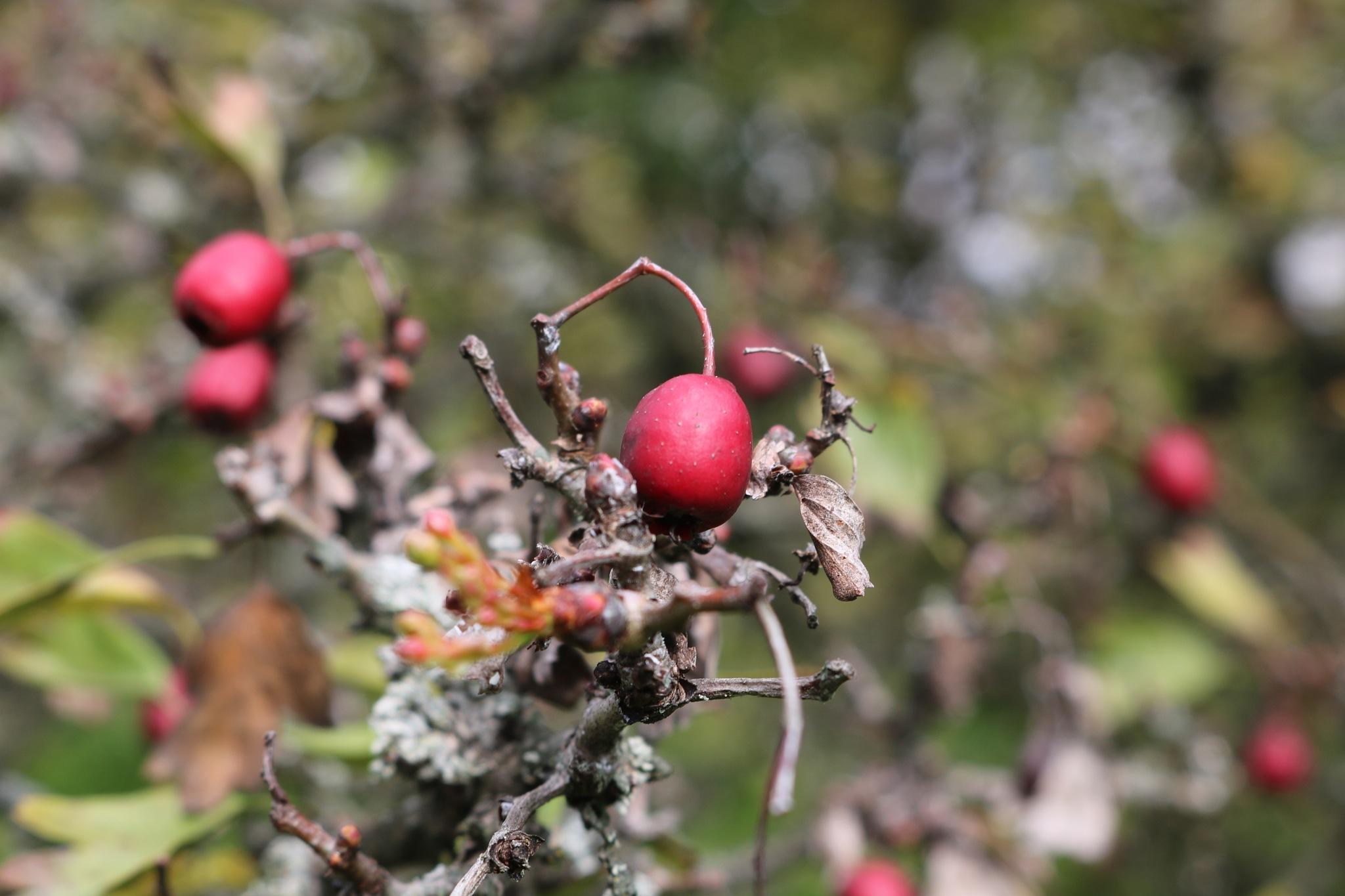 Crataegus - Fruit by zvnktomasevic