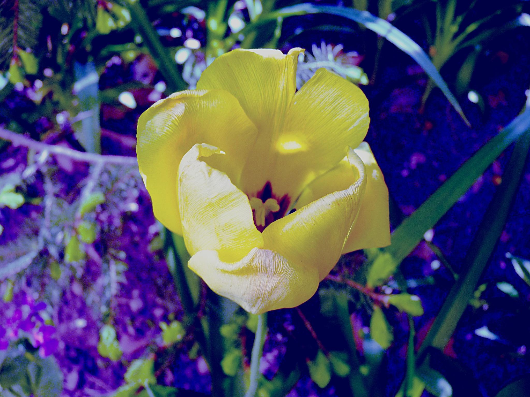 Tulipan II by zvnktomasevic