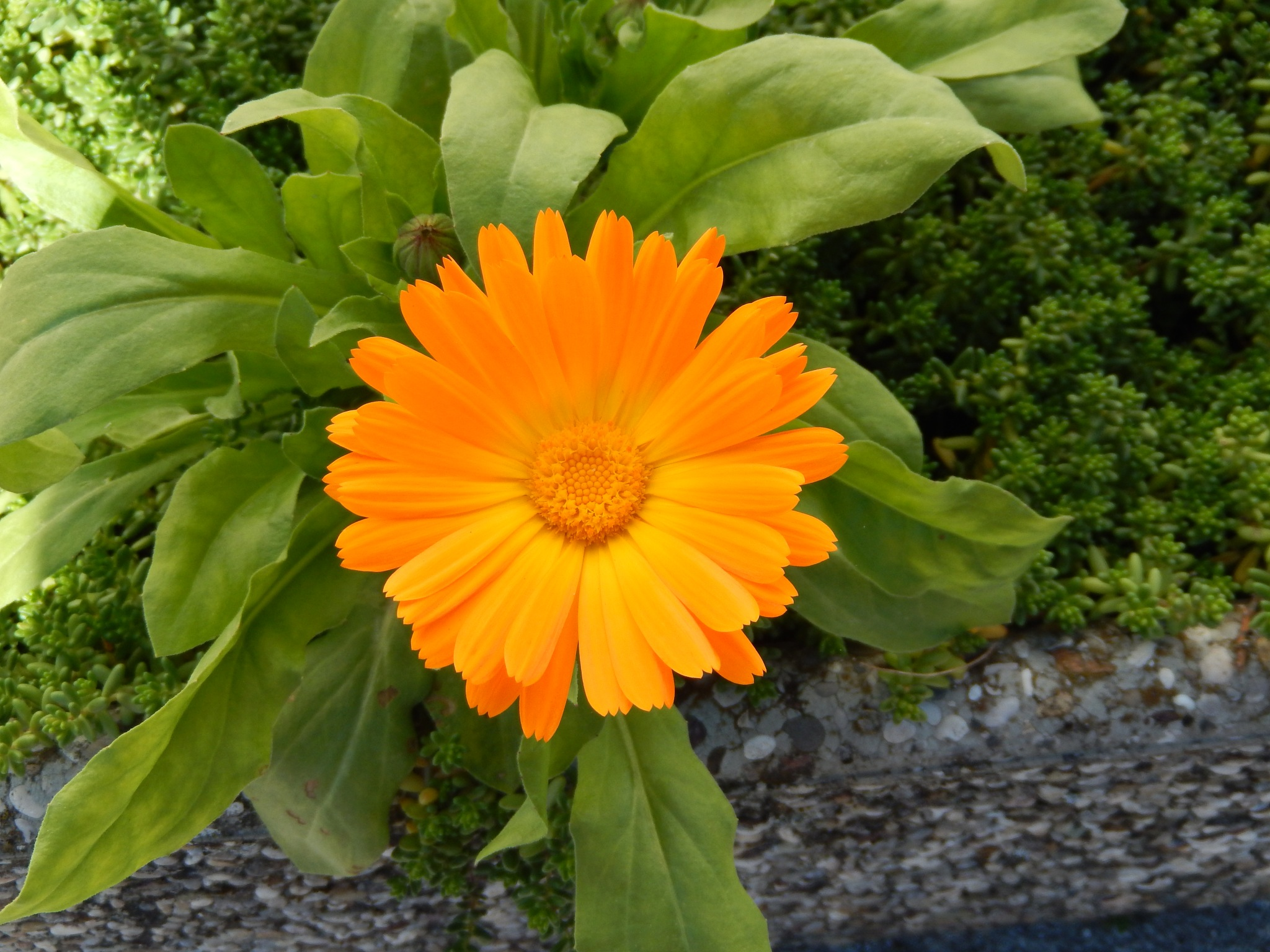 Calendula officinalis - Vrtni ognjič by zvnktomasevic