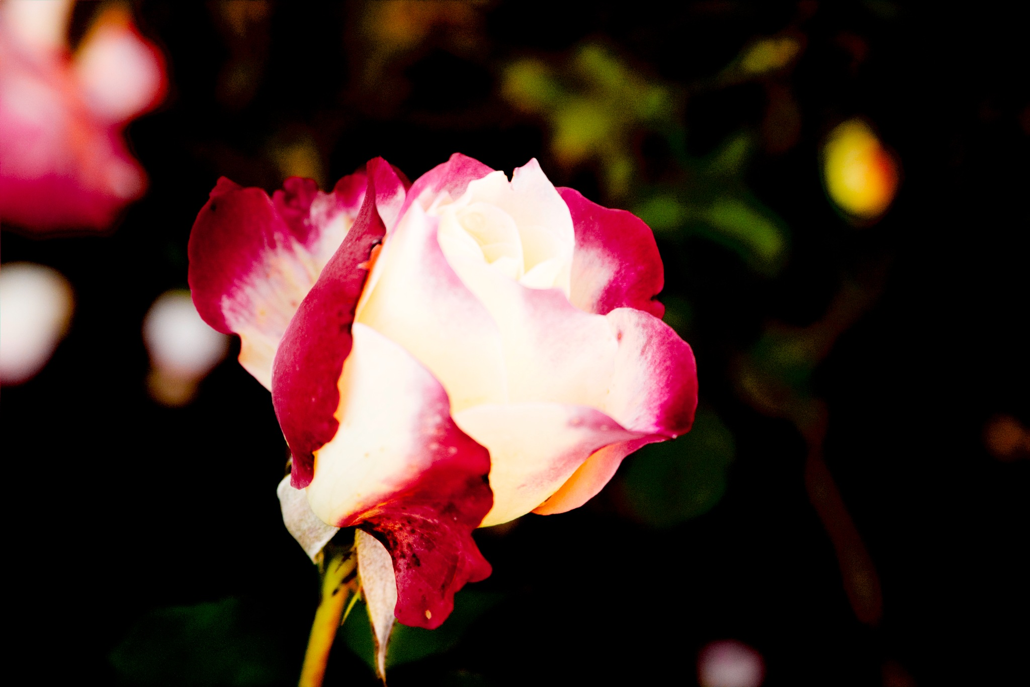 Rose (CR2) by zvnktomasevic