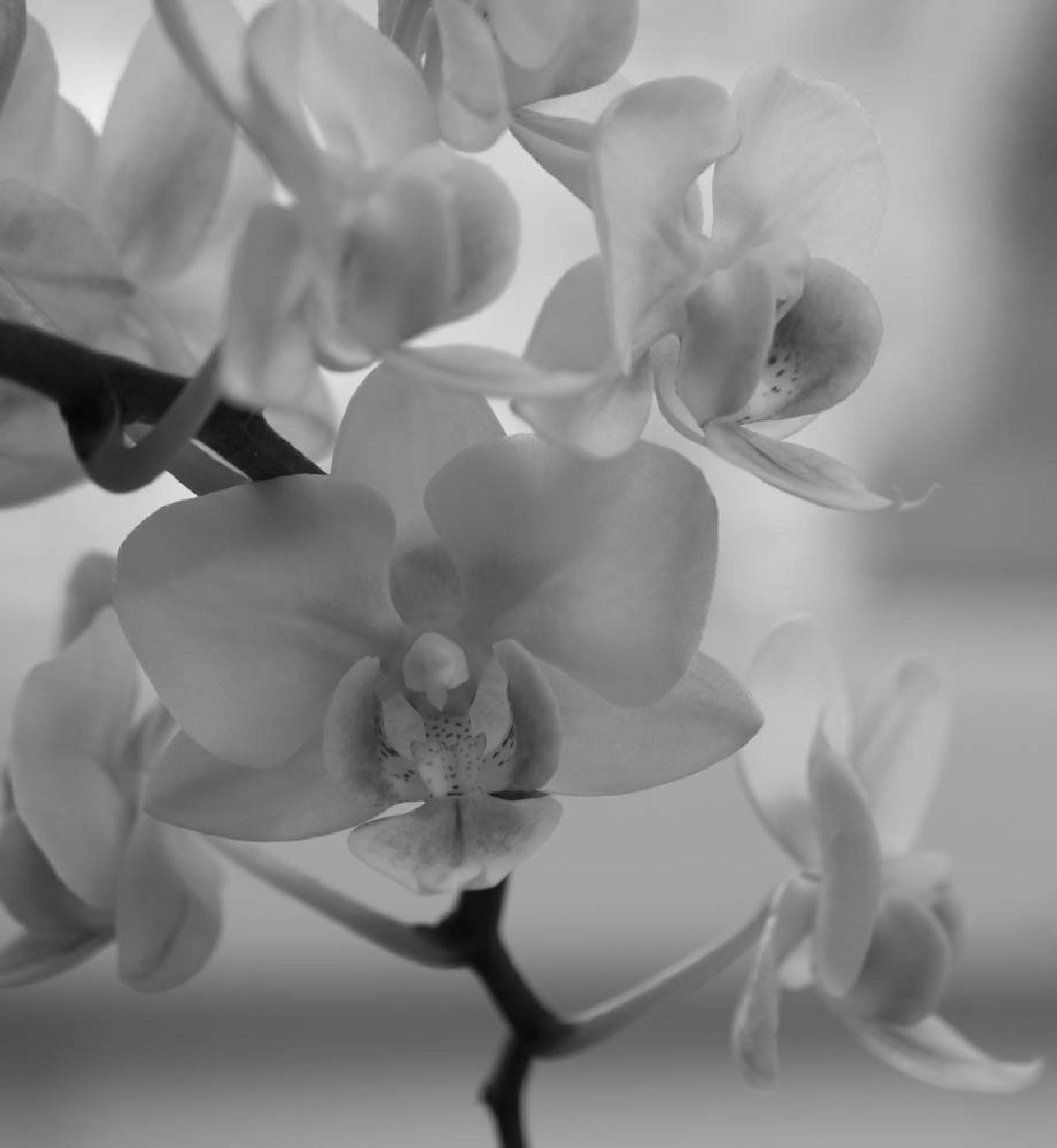 mono orchid by debra godwin