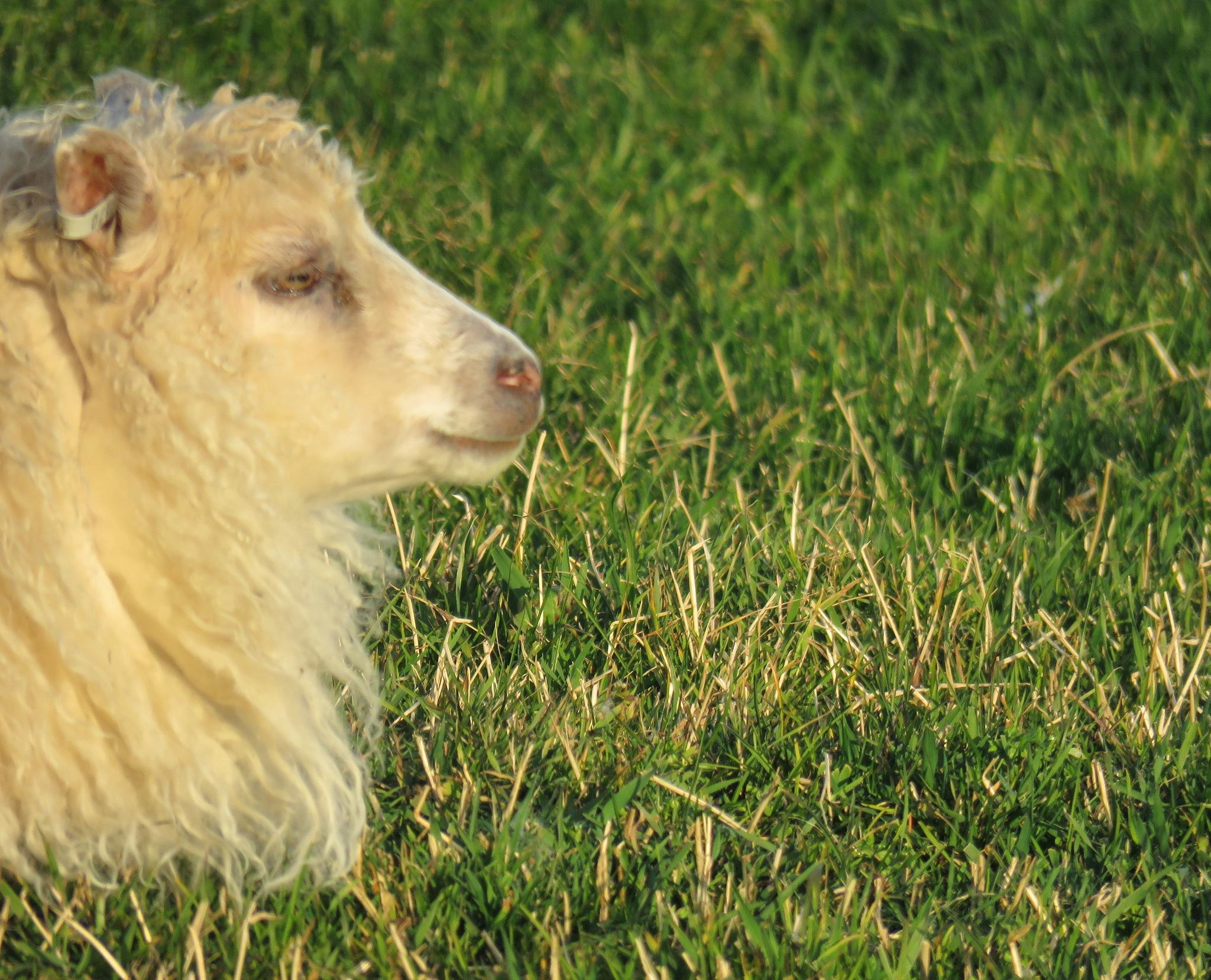Icelandic lamb by  Bjarklind