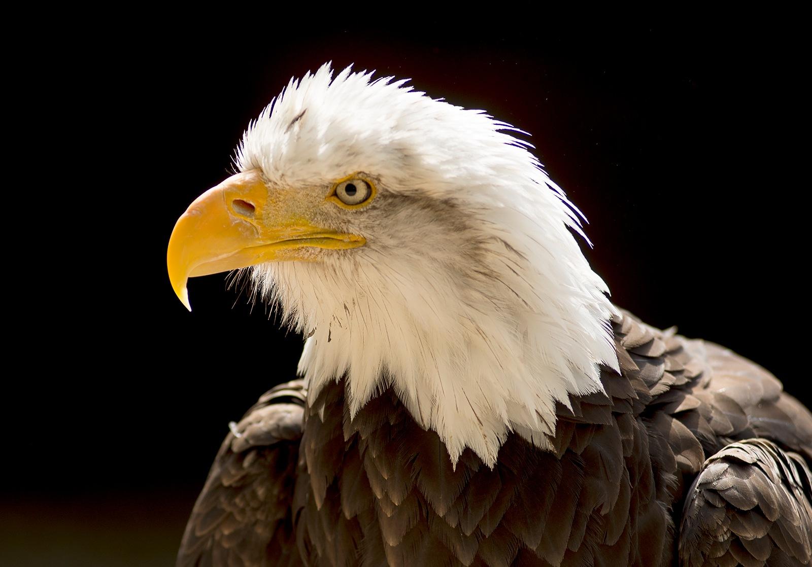 Bald Eagle by miloslaw.spiewak