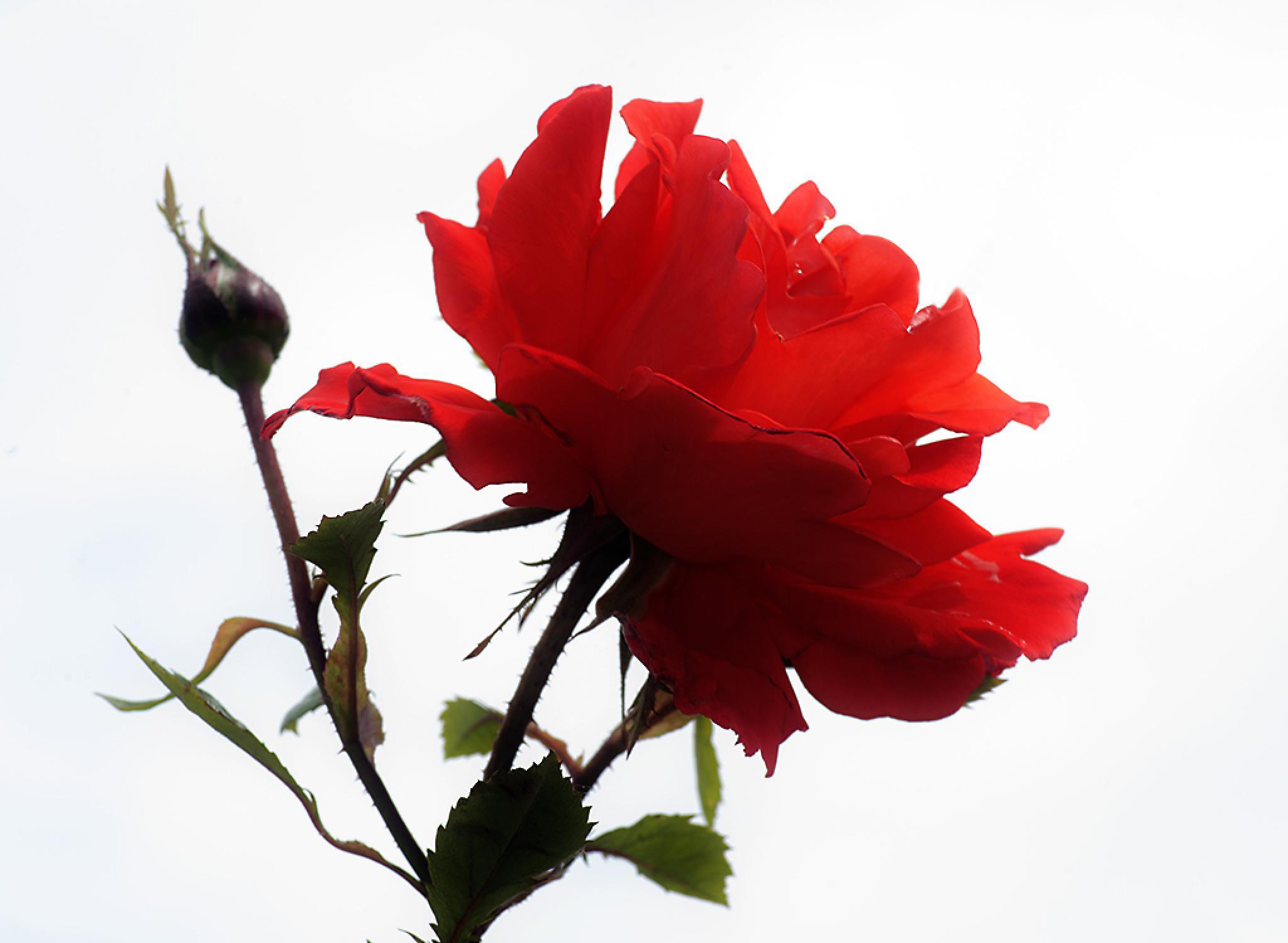 Rose by miloslaw.spiewak