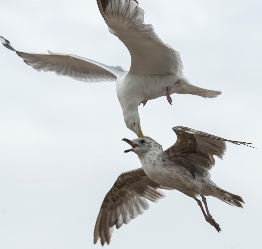 Herring Gull by miloslaw.spiewak