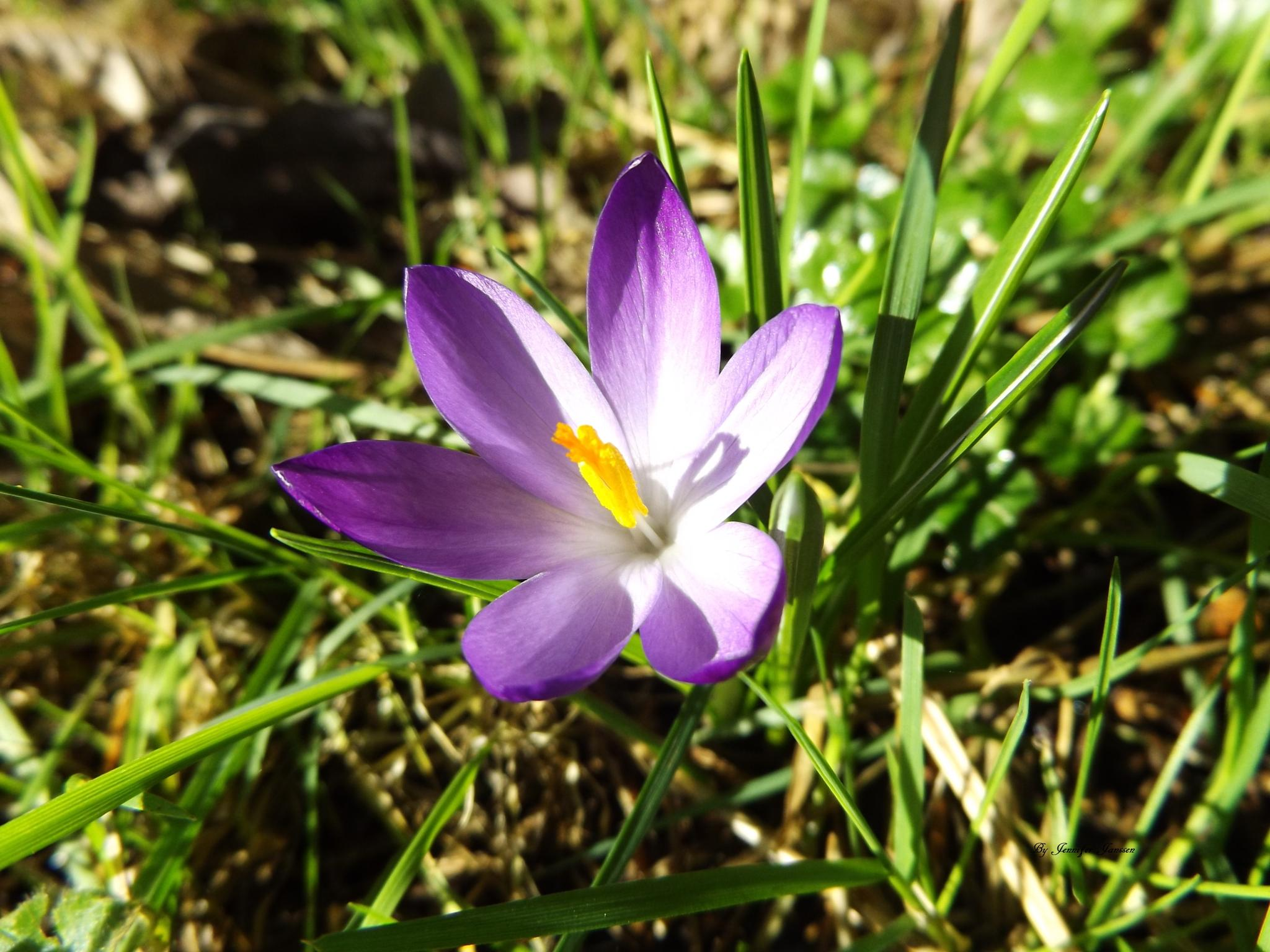 crocus by bluibabi