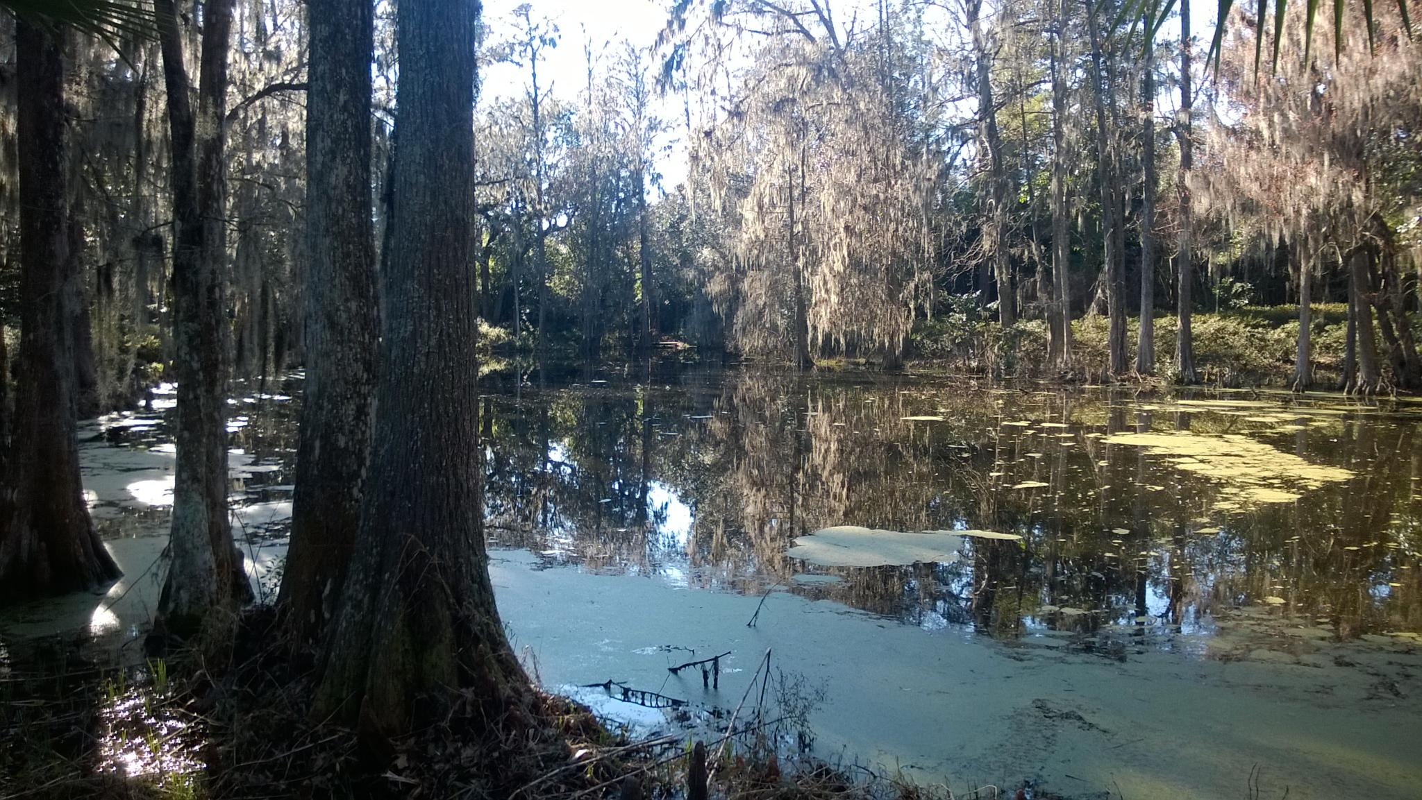 Cypress Swamp by Catherine Carver