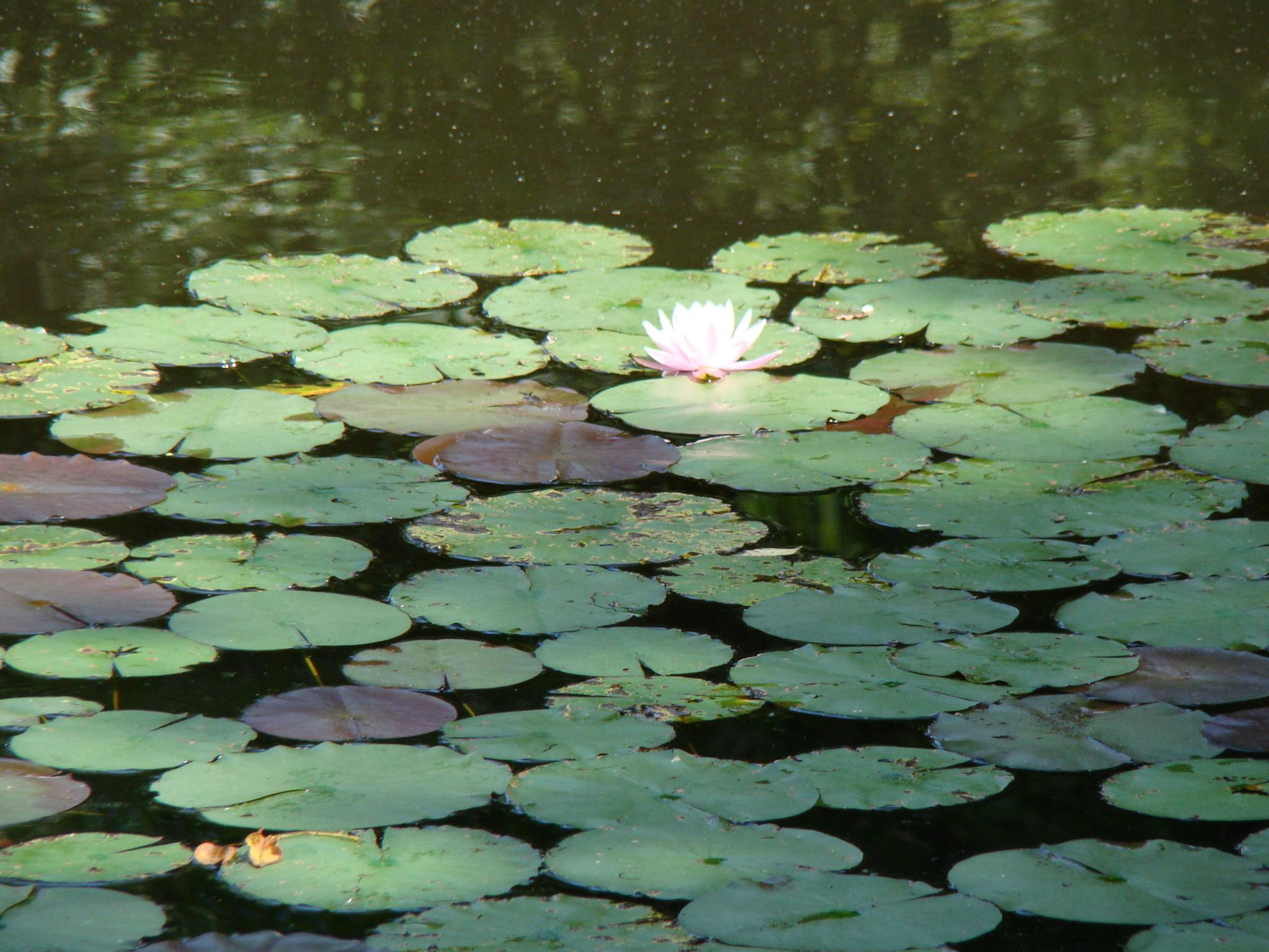 Water Lily by Catherine Carver