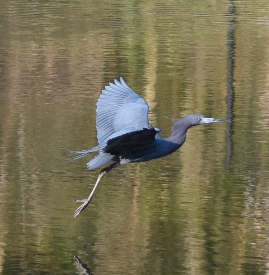 Little Blue Heron by Catherine Carver