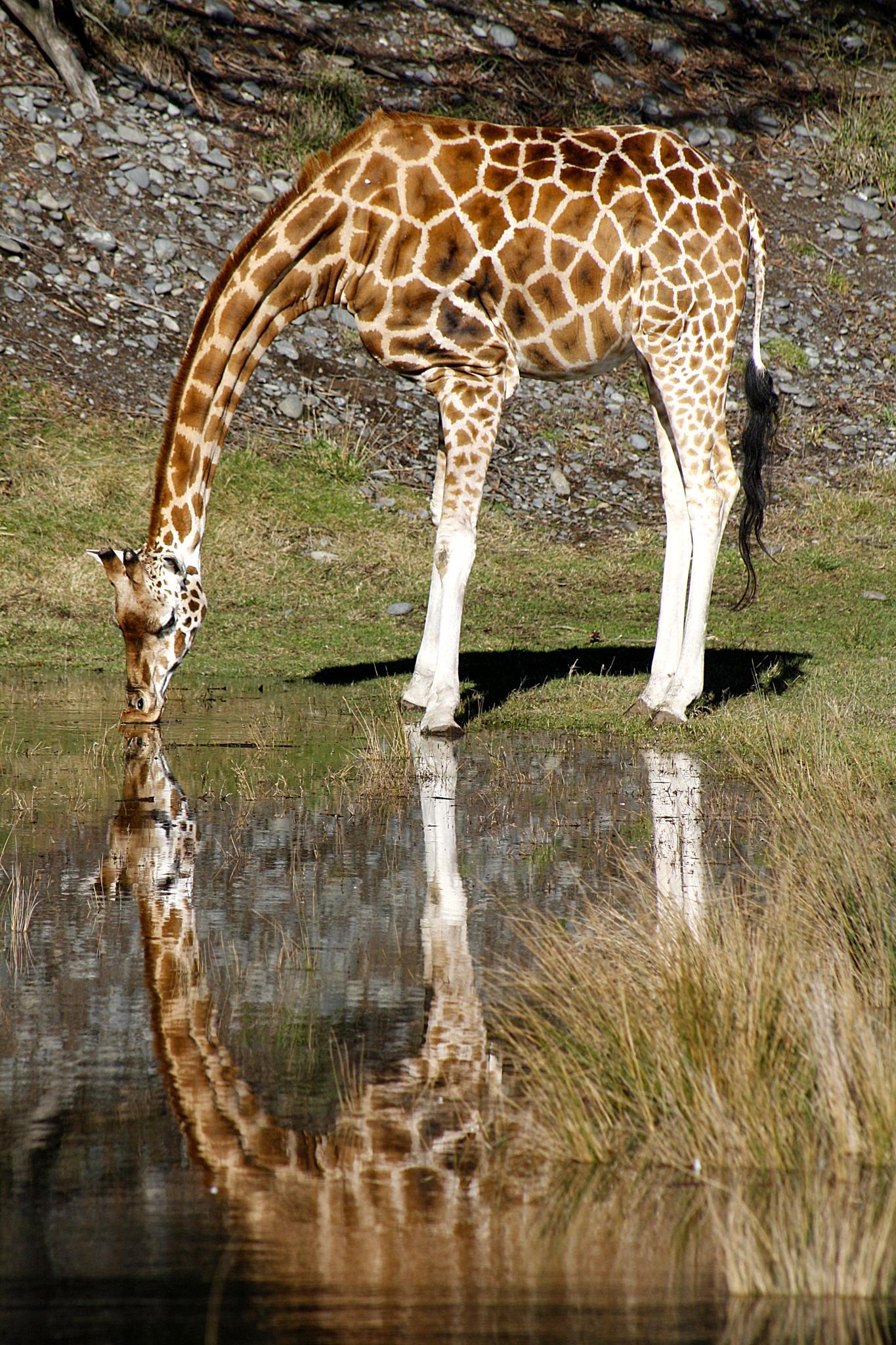 Giraffe Reflection by Phil Le Cren
