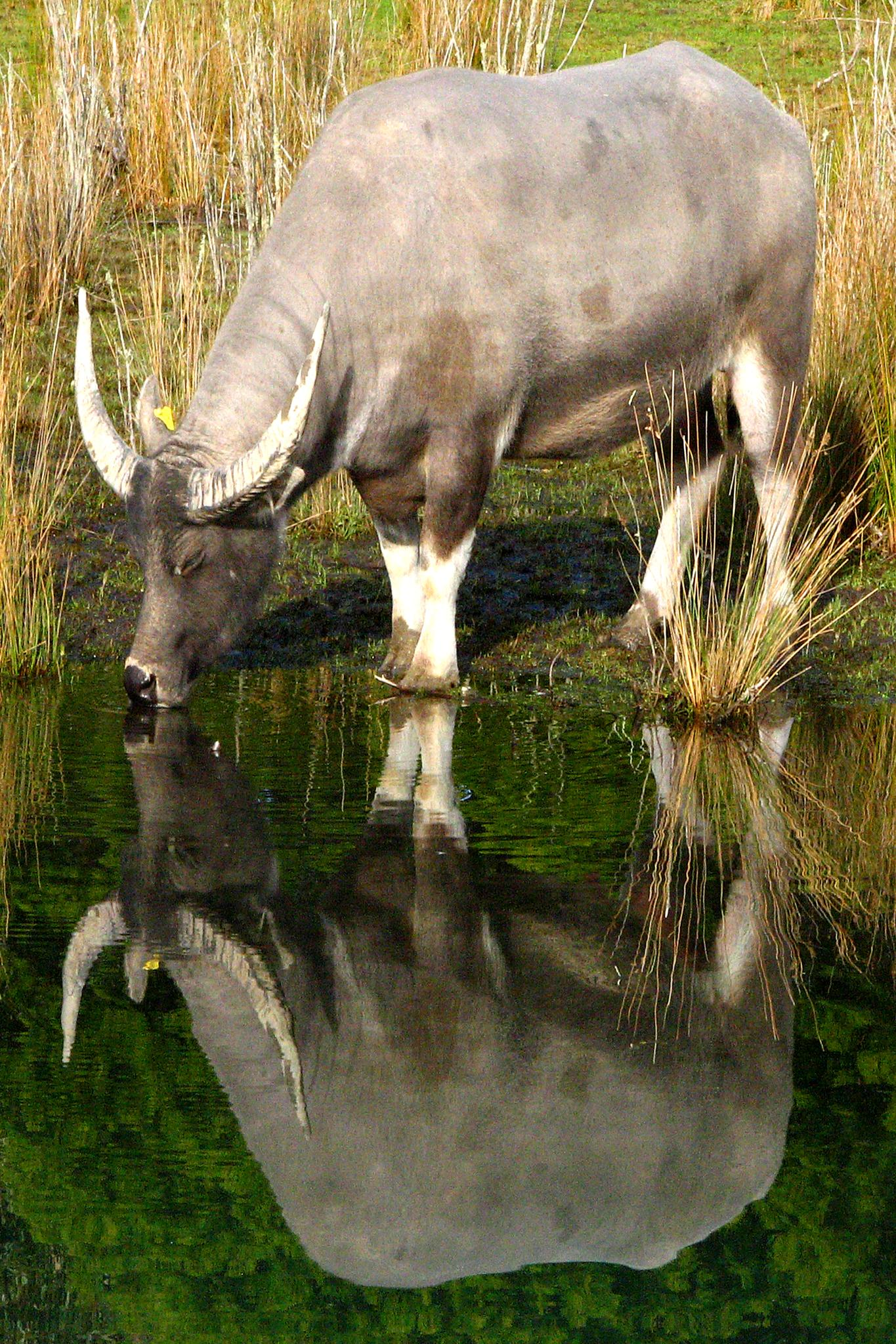 Water Buffalo Reflection by Phil Le Cren