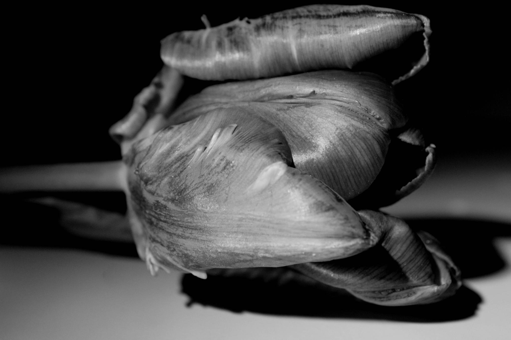 Black tulip by pernillamia