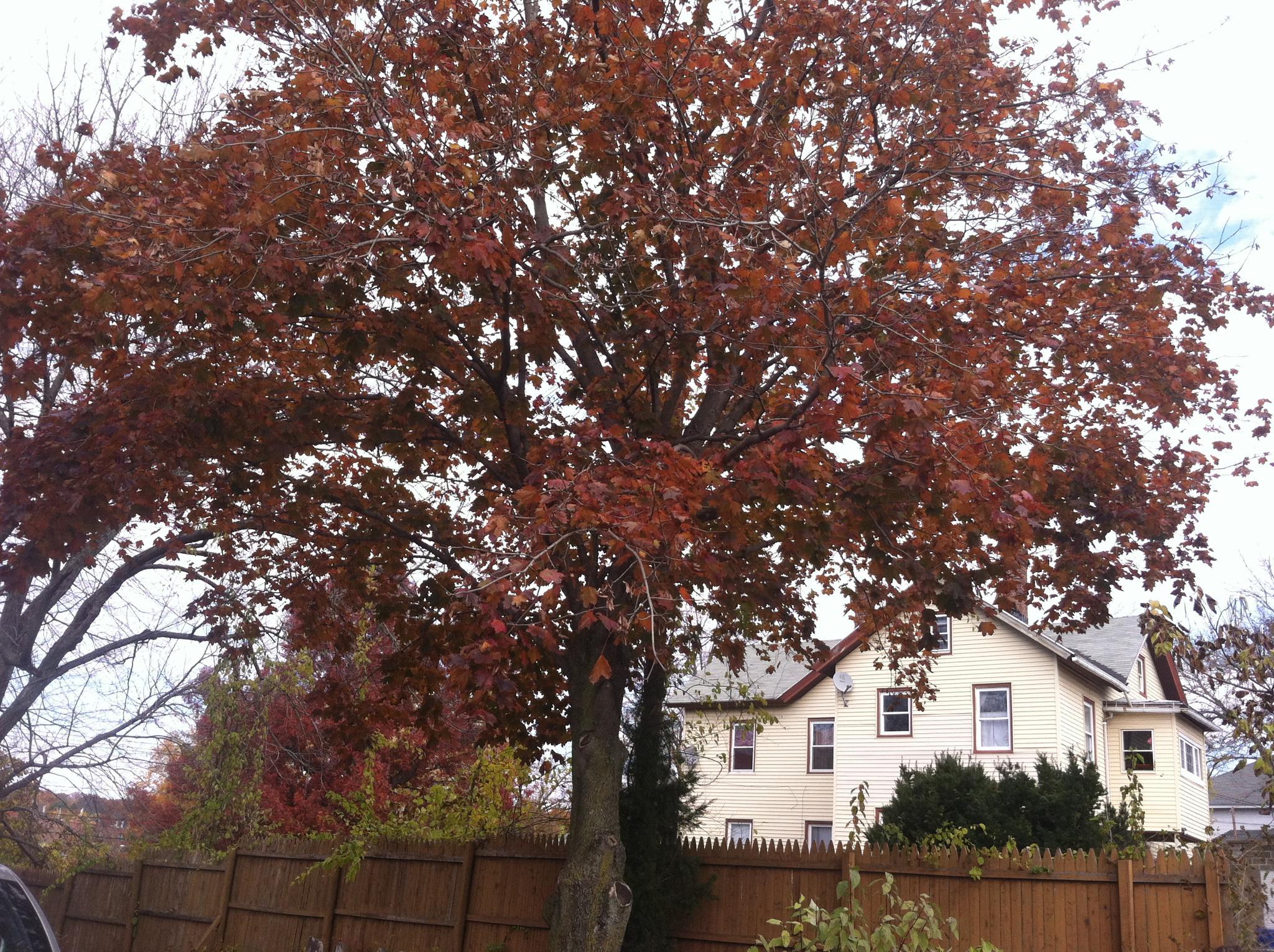 Red Maple by REG.Fn.HOWARD