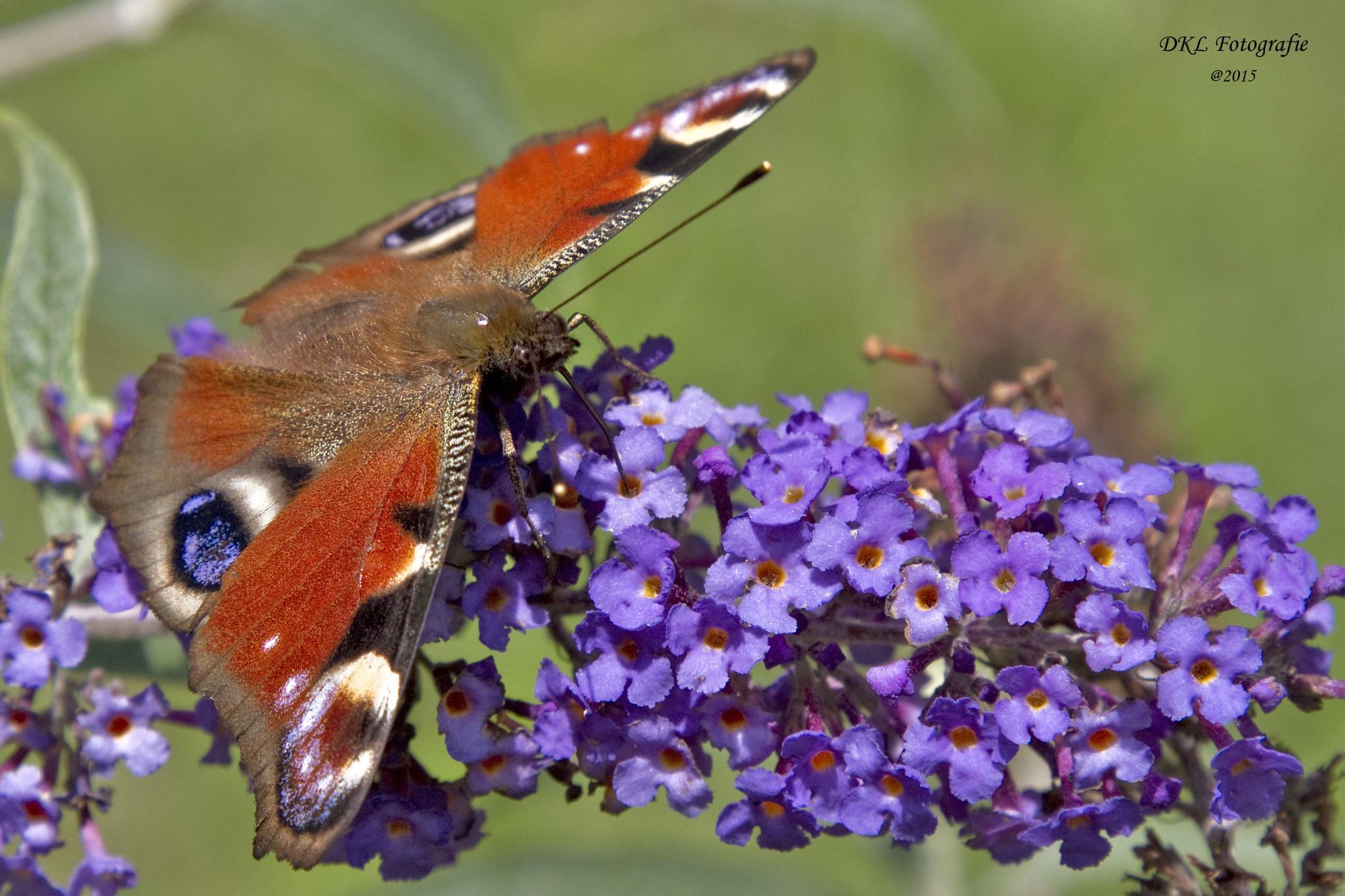 Peacock butterfly (Aglais io) by danielle.klaveroverdijk