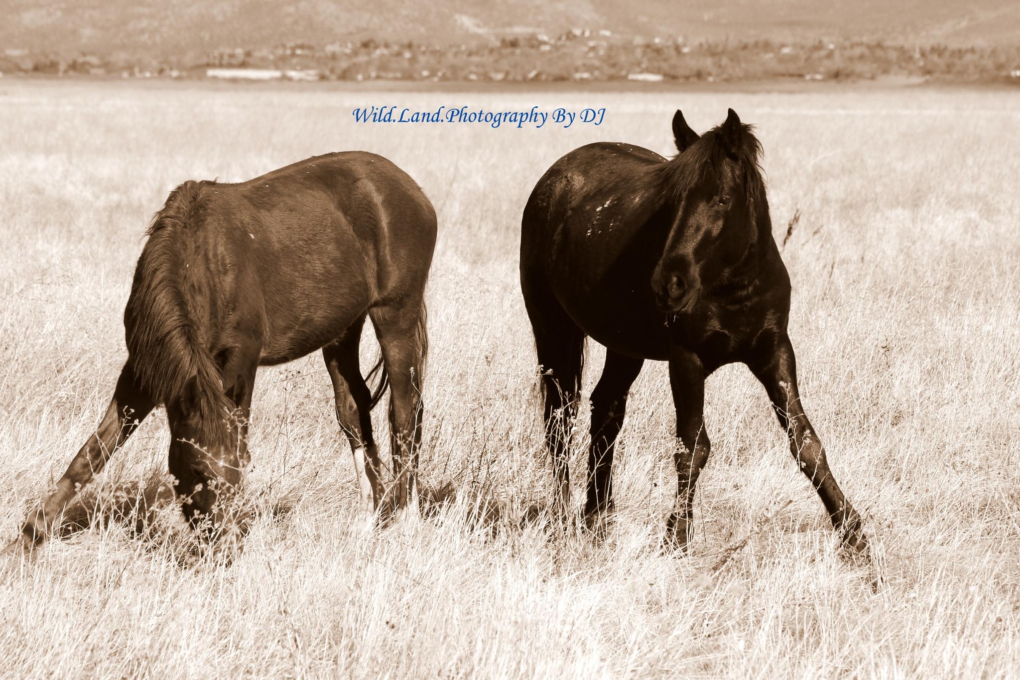 Sepia horses by denny.hudson.39