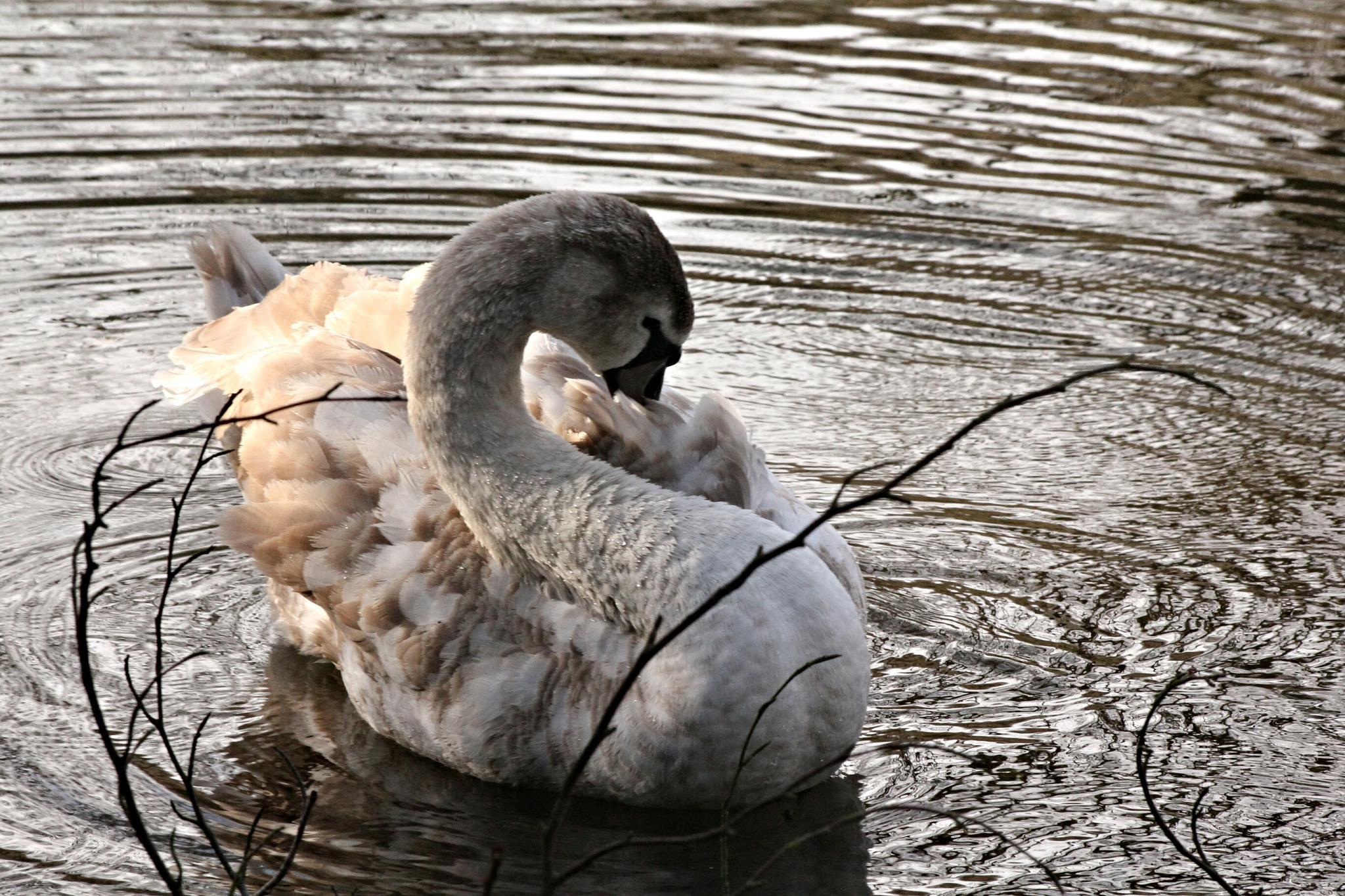 Shy swan by gary.macnicol