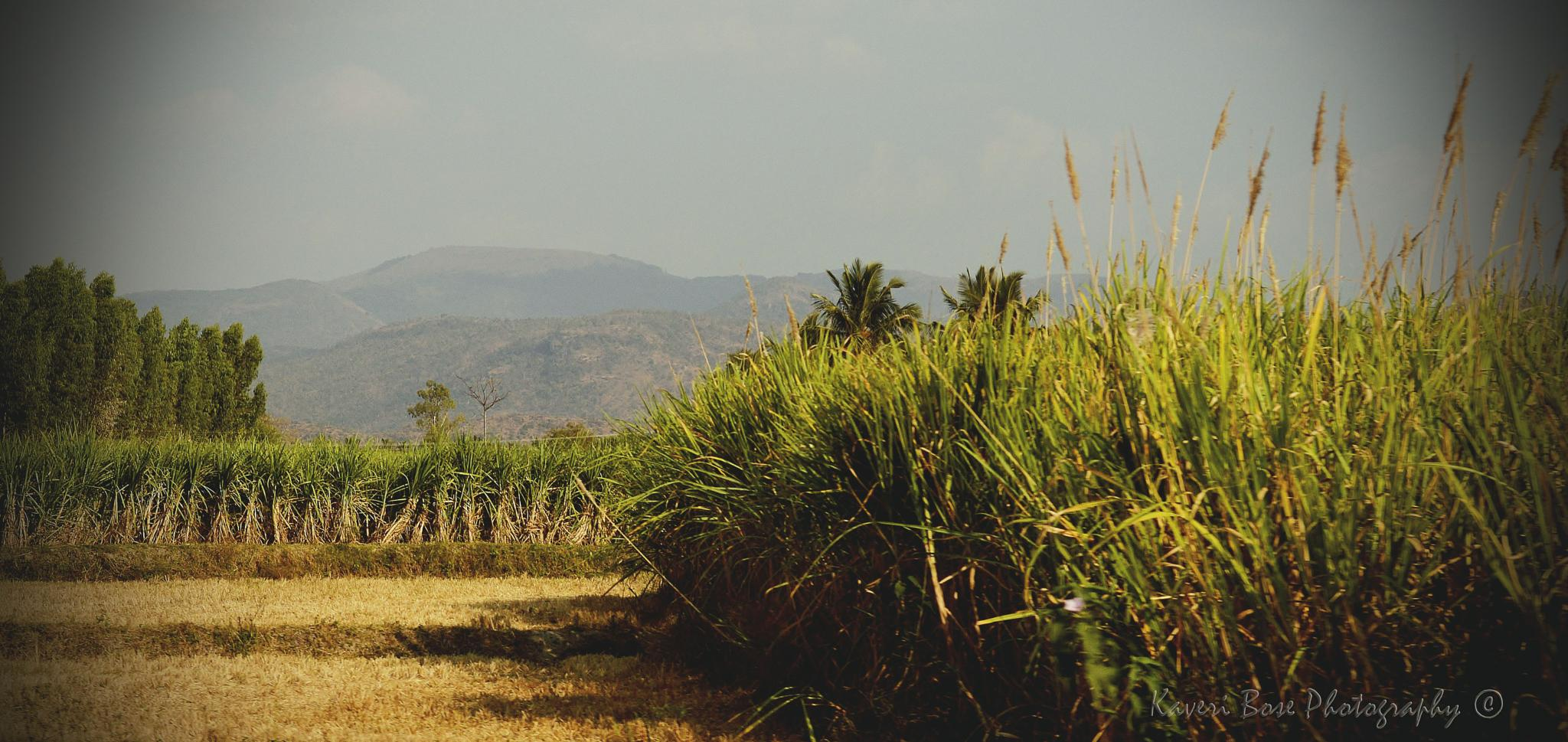 The fields by Kaveri Bose