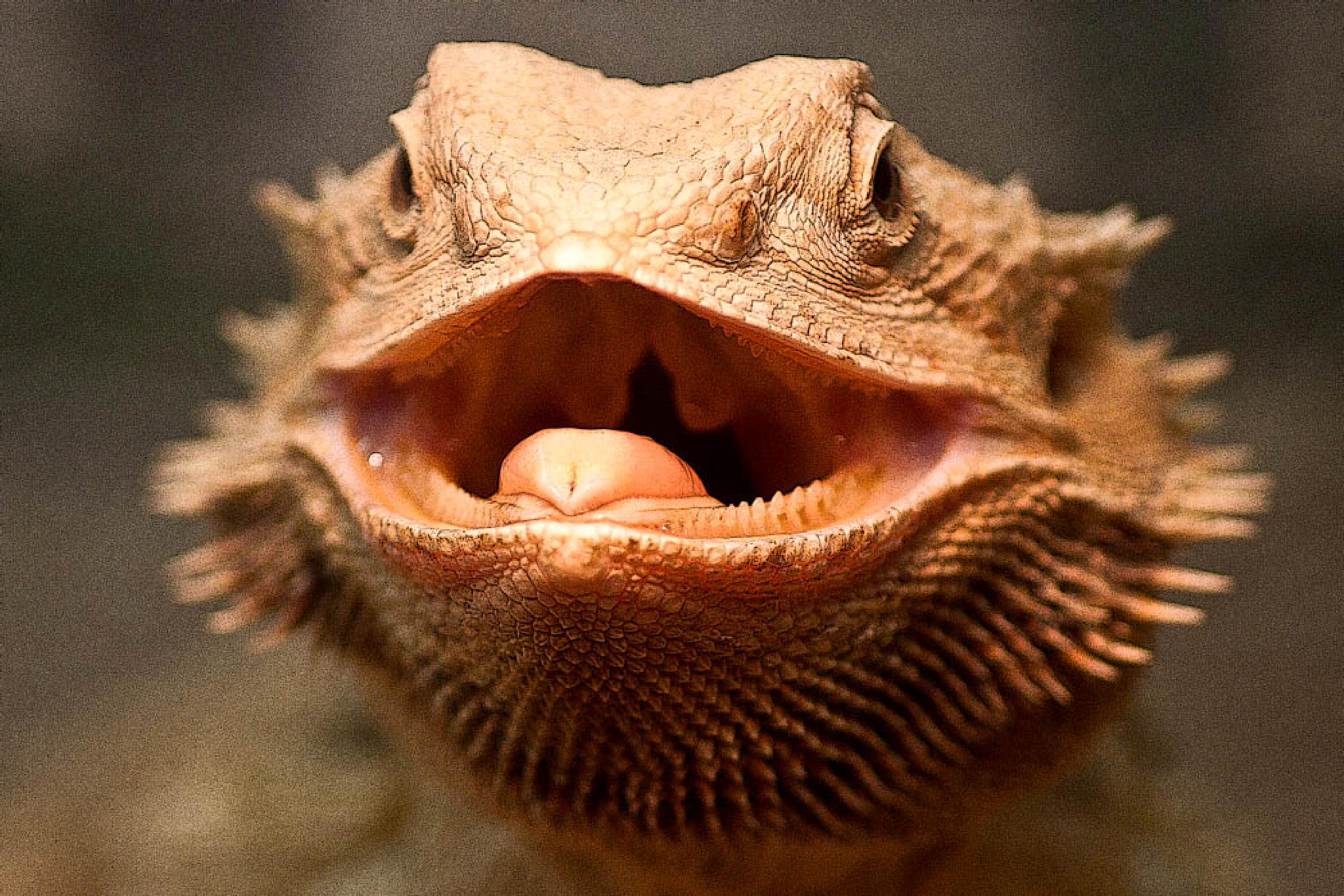 Bearded Dragon by ellobo