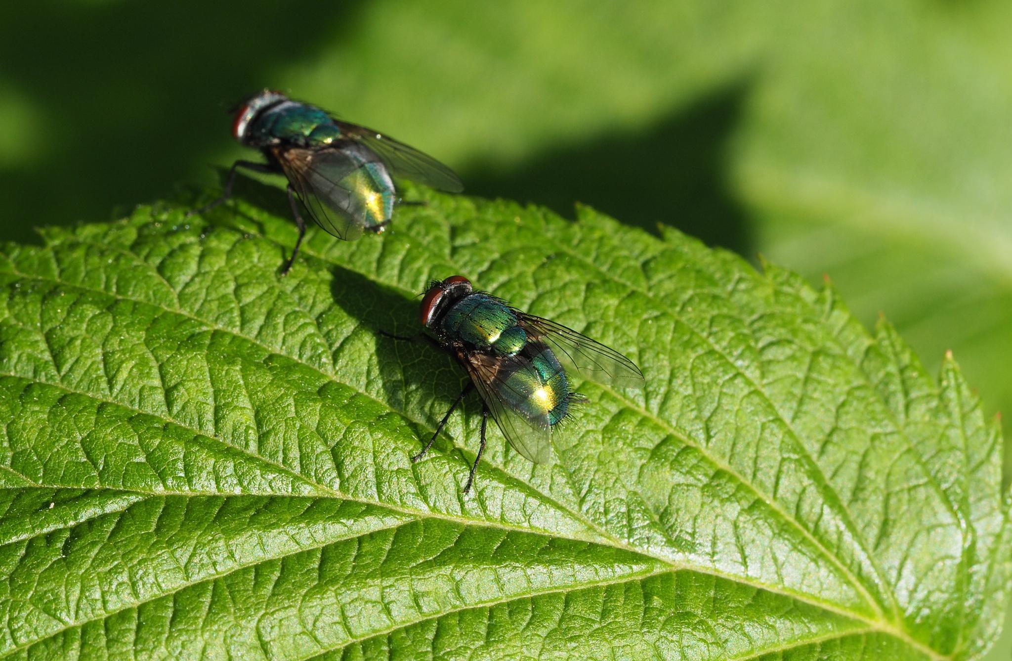 Two flies - zwei Fliegen by kallebo20