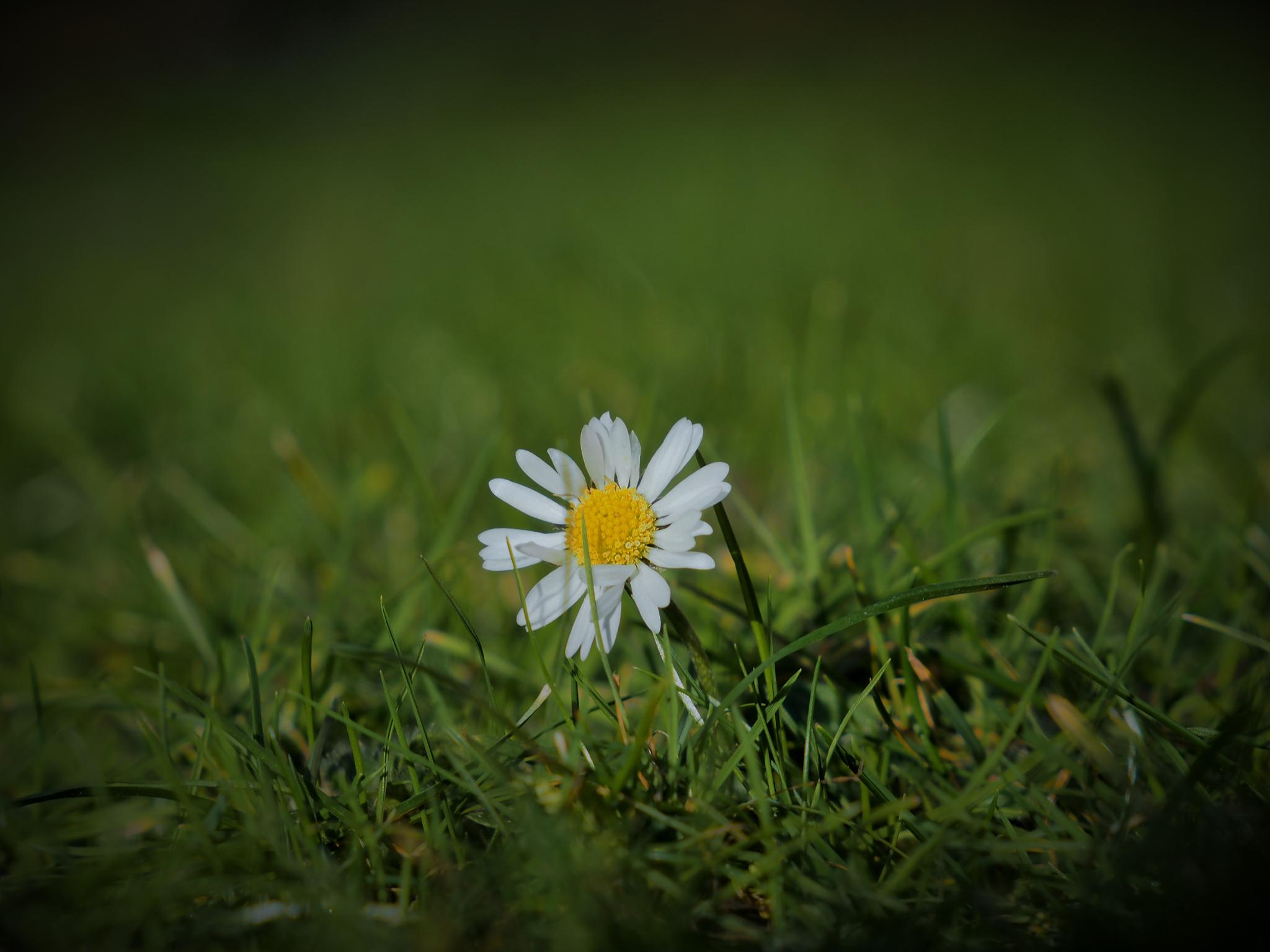 Little daisy by kallebo20