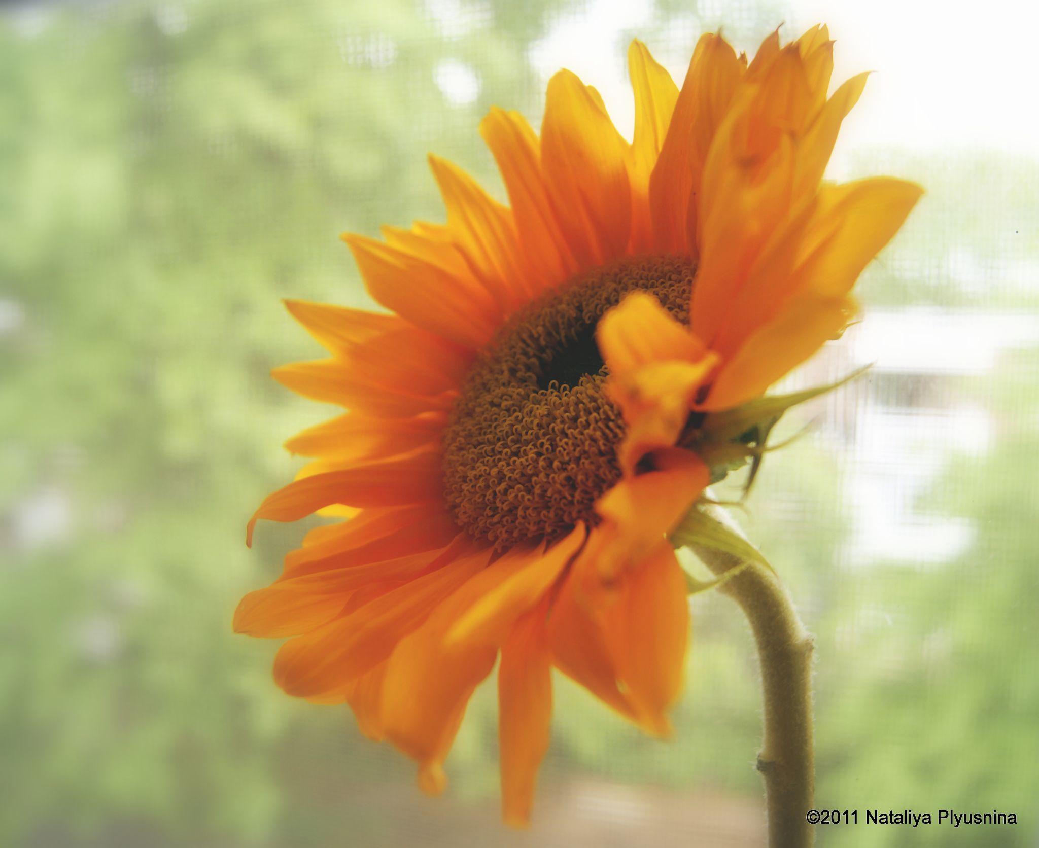 Sunflower by Nataliya Plyusnina