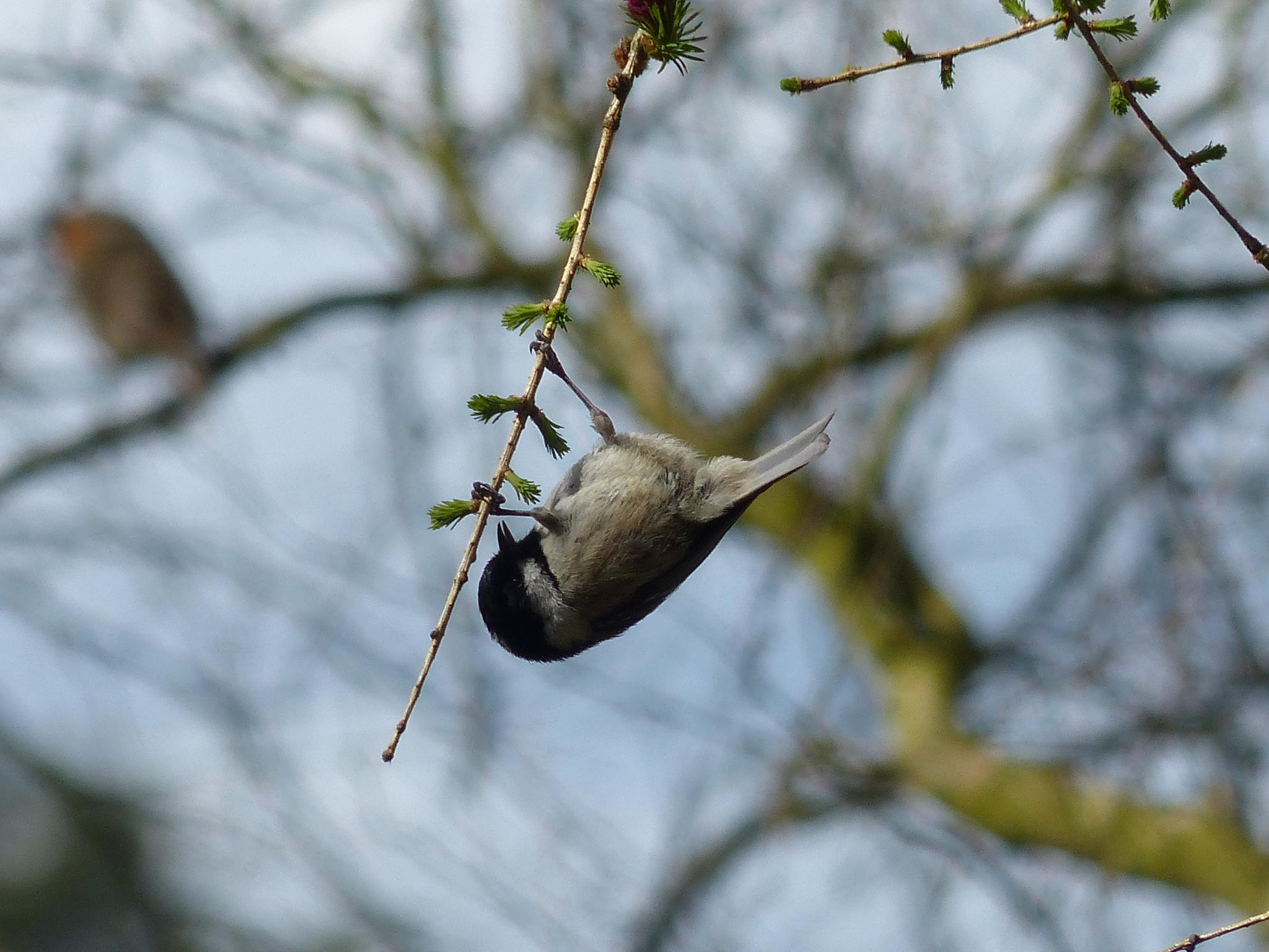 Coal Tit by wendy.west.9212