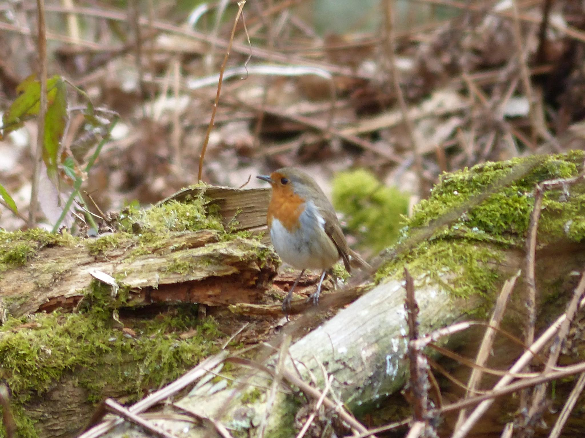 Robin in Owlet Woods by wendy.west.9212