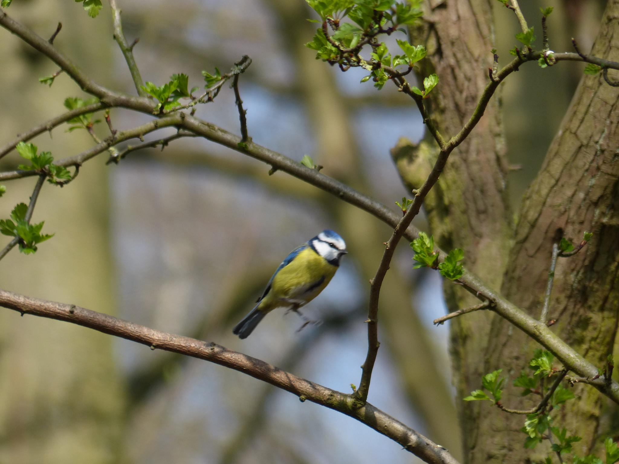 Jumping bluetit by wendy.west.9212
