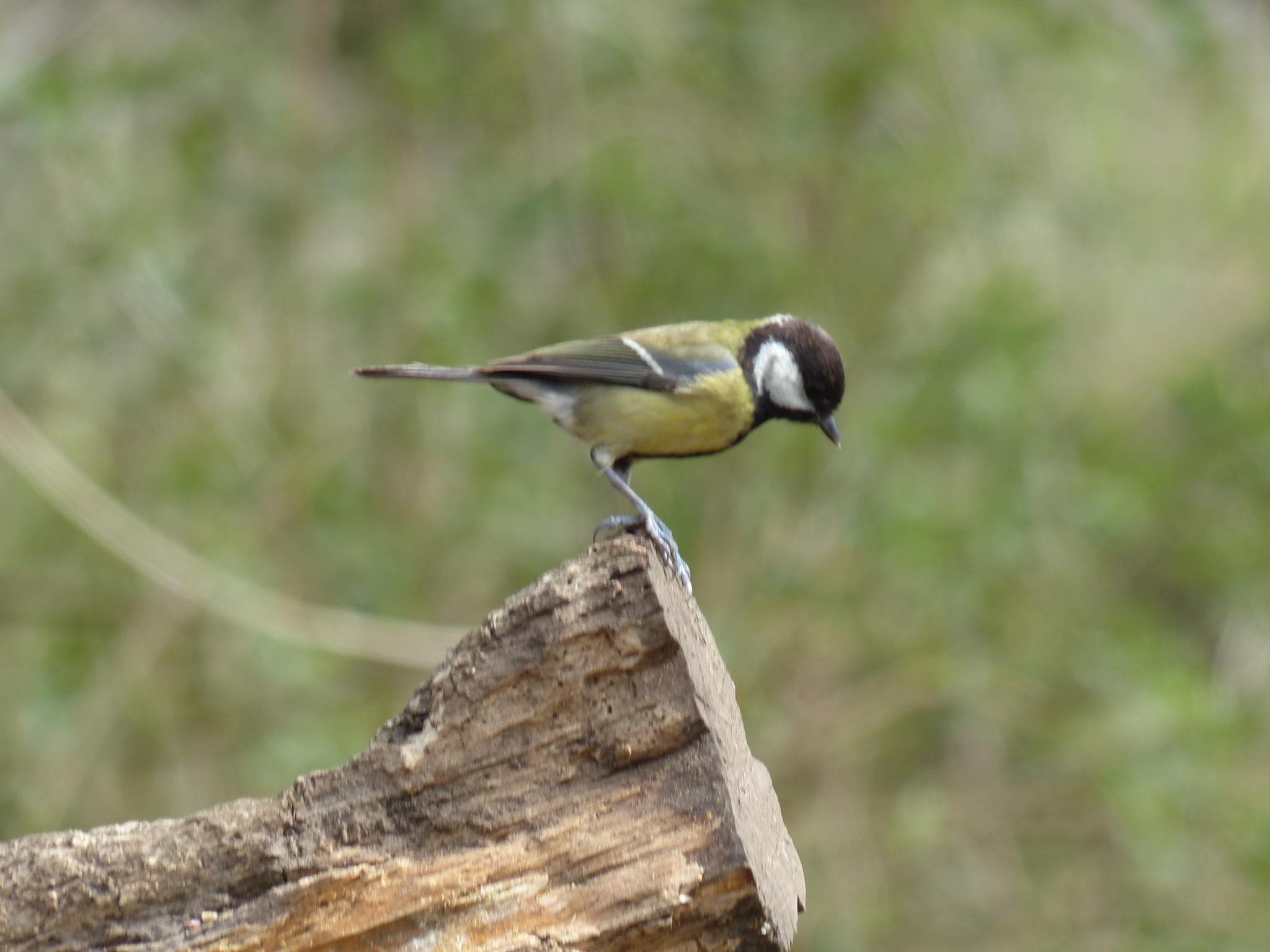 Great Tit on the Edge by wendy.west.9212