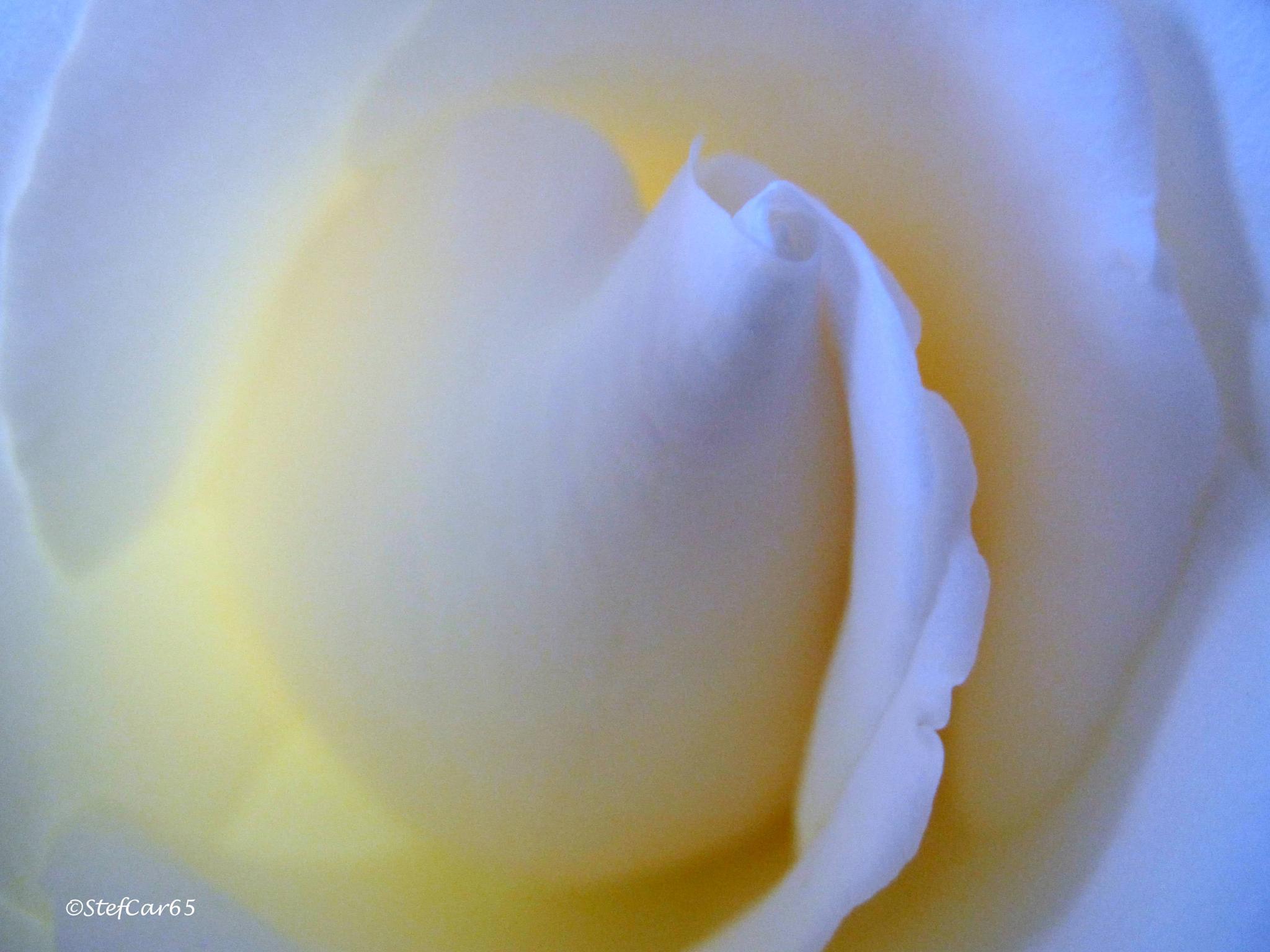 White Rose by stef_4mori