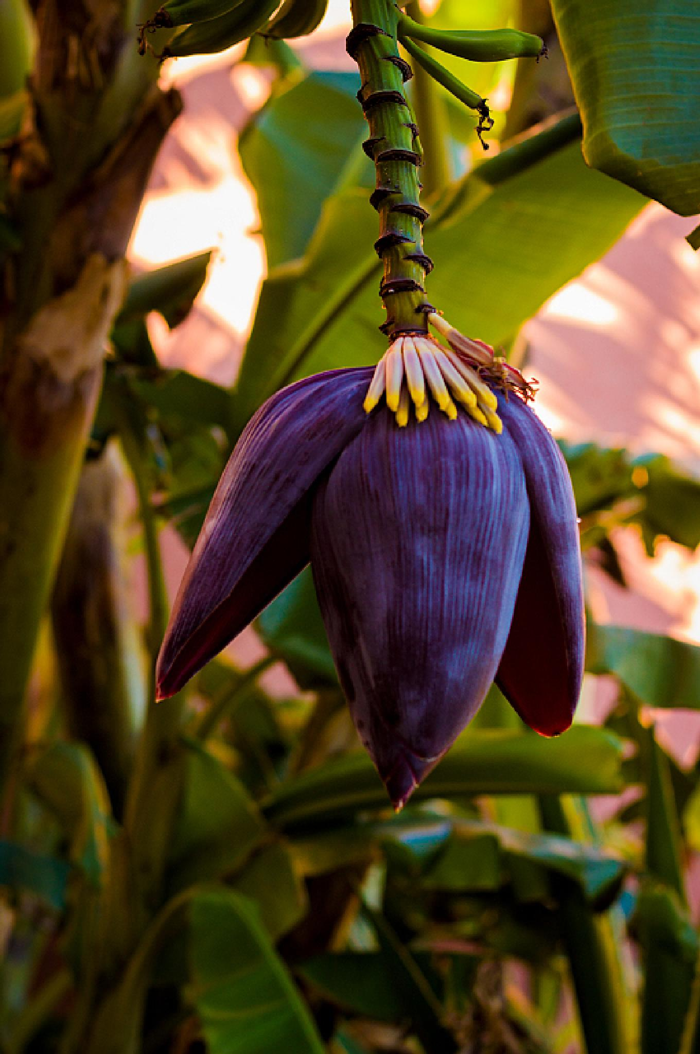 Banana flower by magdalena.lenar