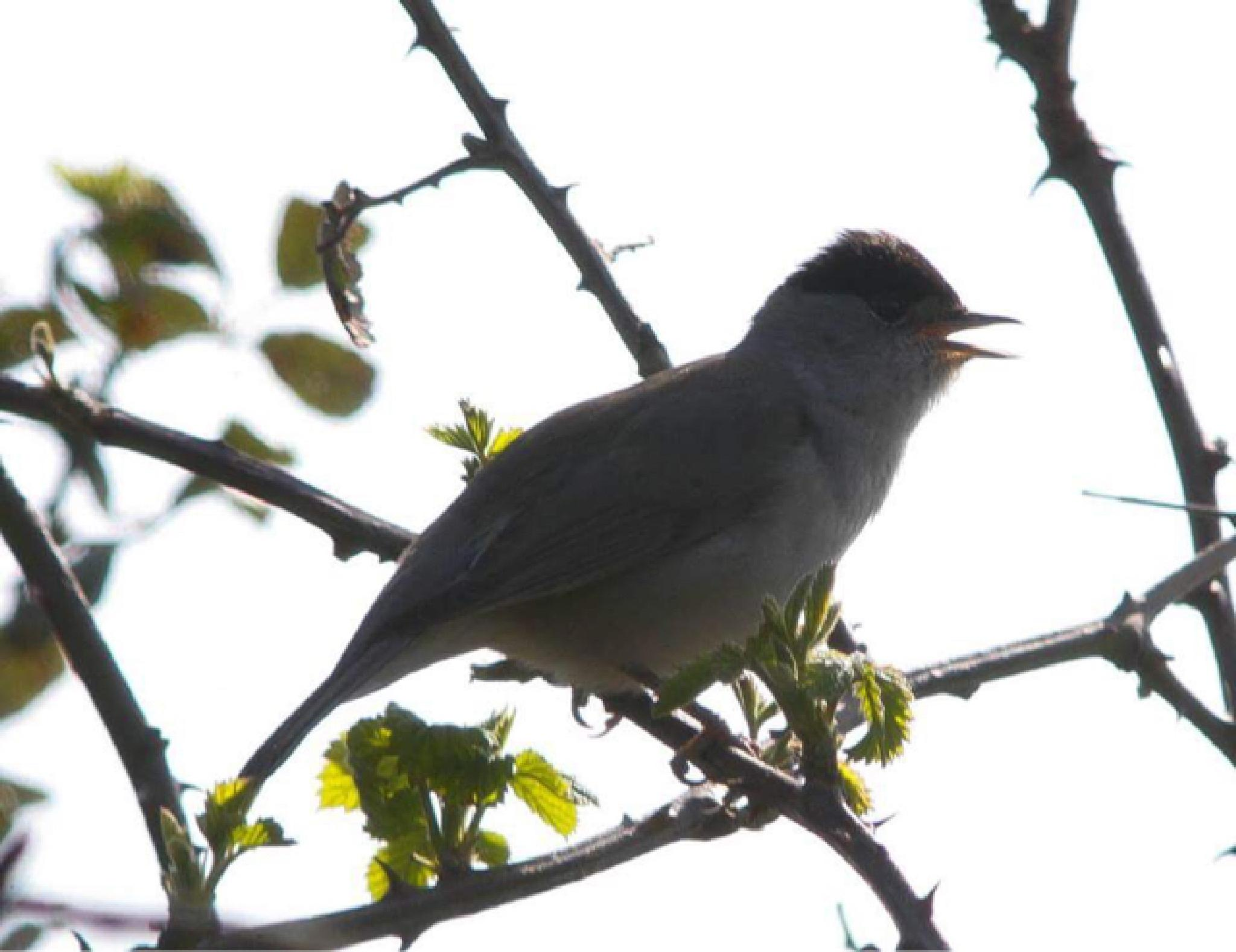 Singing male Blackcap by david.griffith.522