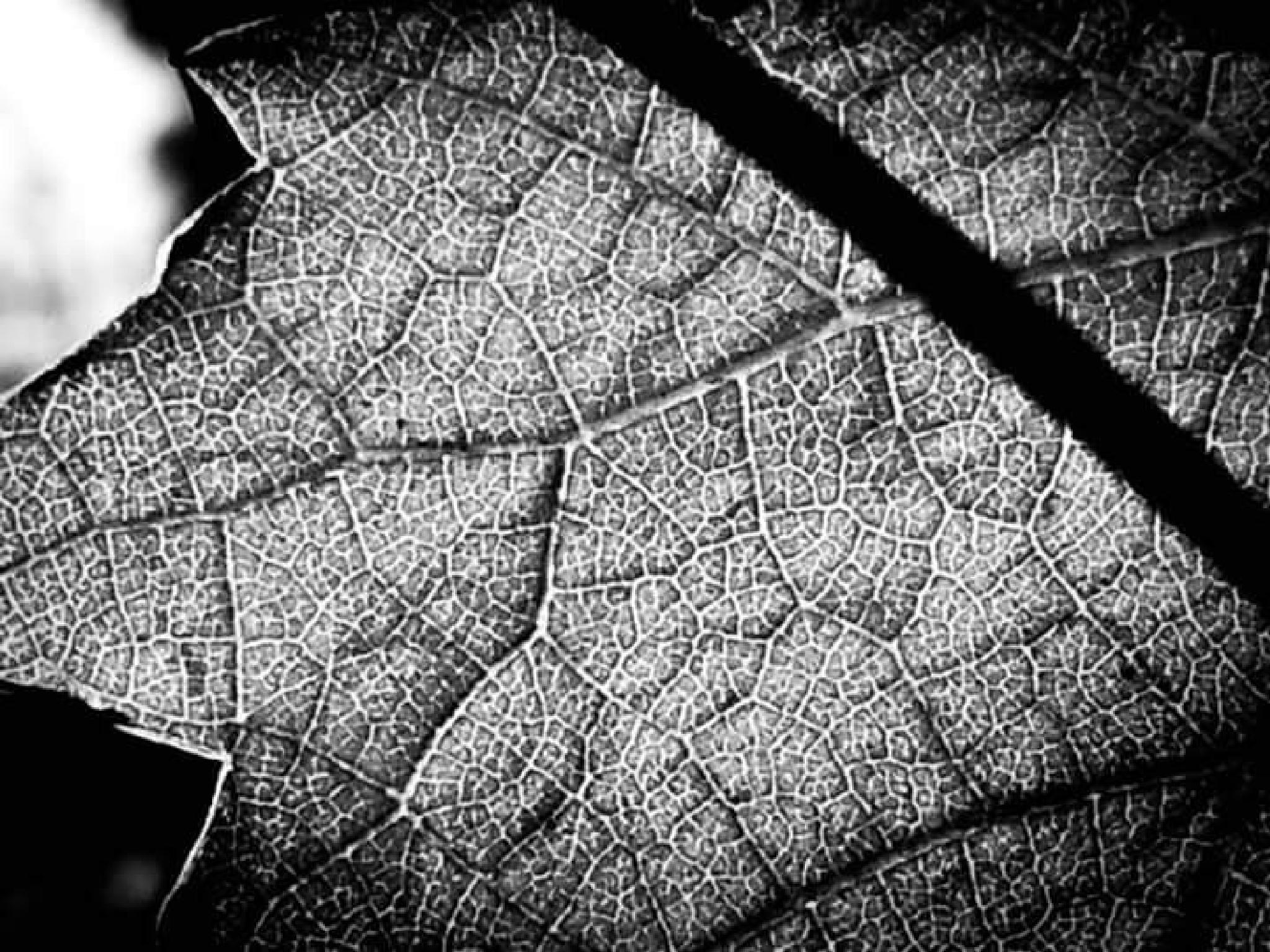 Backlit vine leaf by david.griffith.522