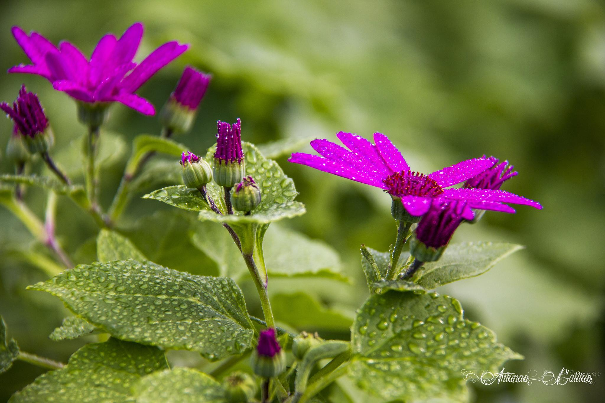 Pericallis senetti by Arturas Gailius