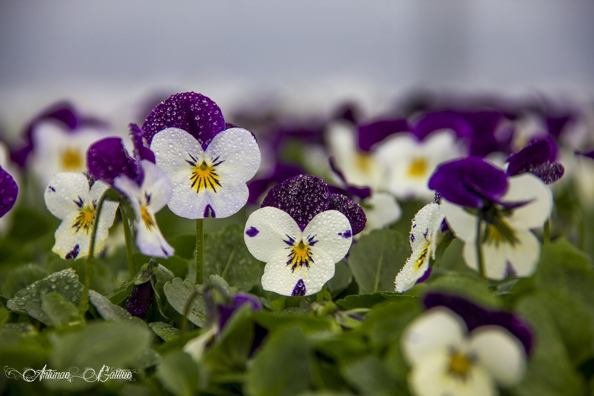 Viola cornuta (white jump up) by Arturas Gailius