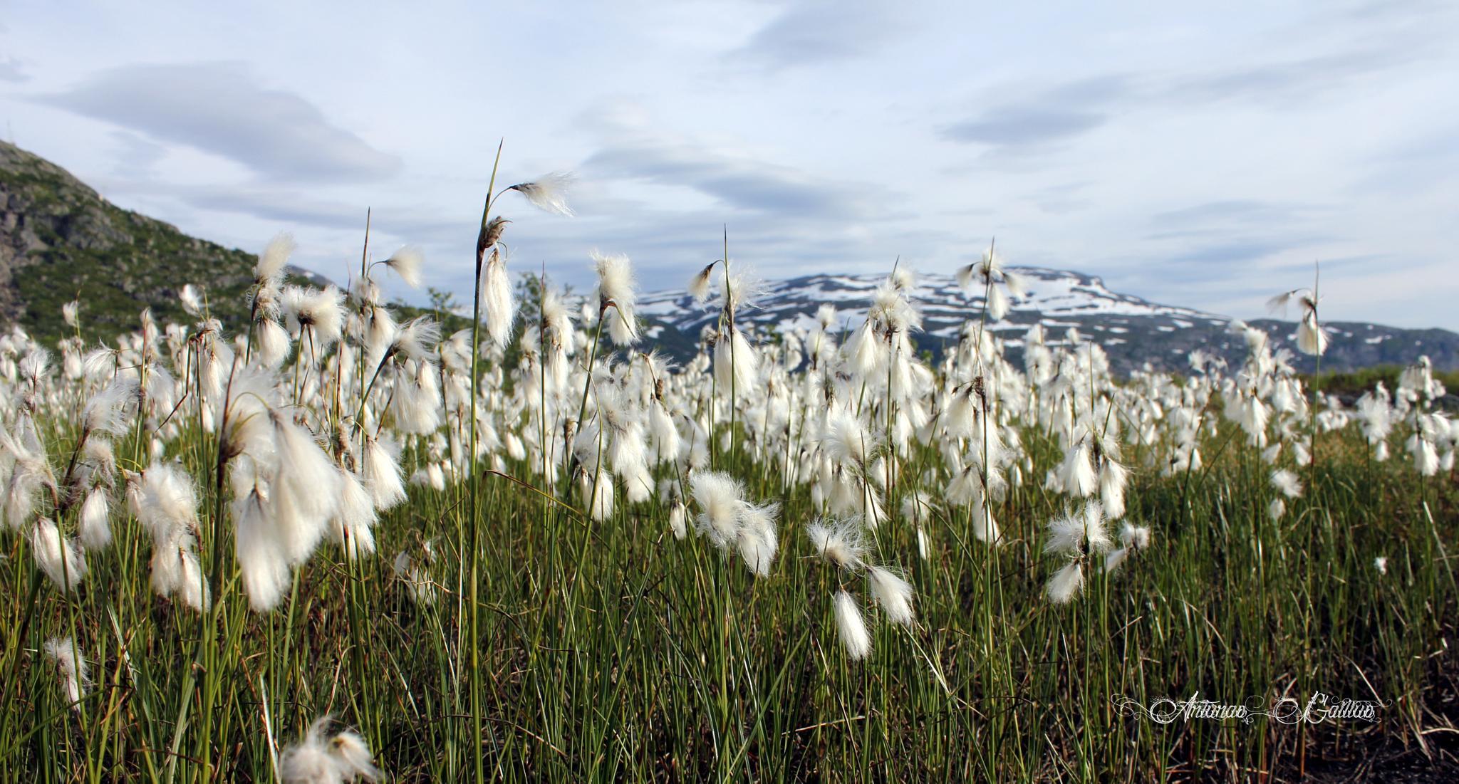 Mountain flowers by Arturas Gailius