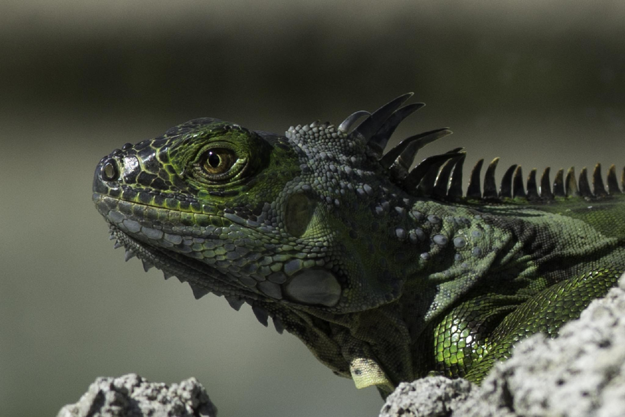 Leguana on Cayman by BosseLandberger