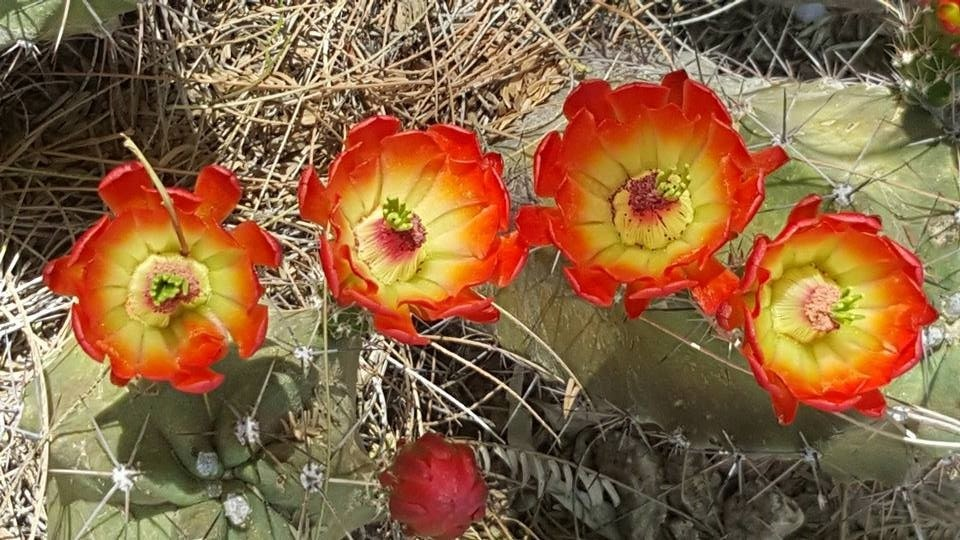 Cactus Flower by Bridgett Zehnder