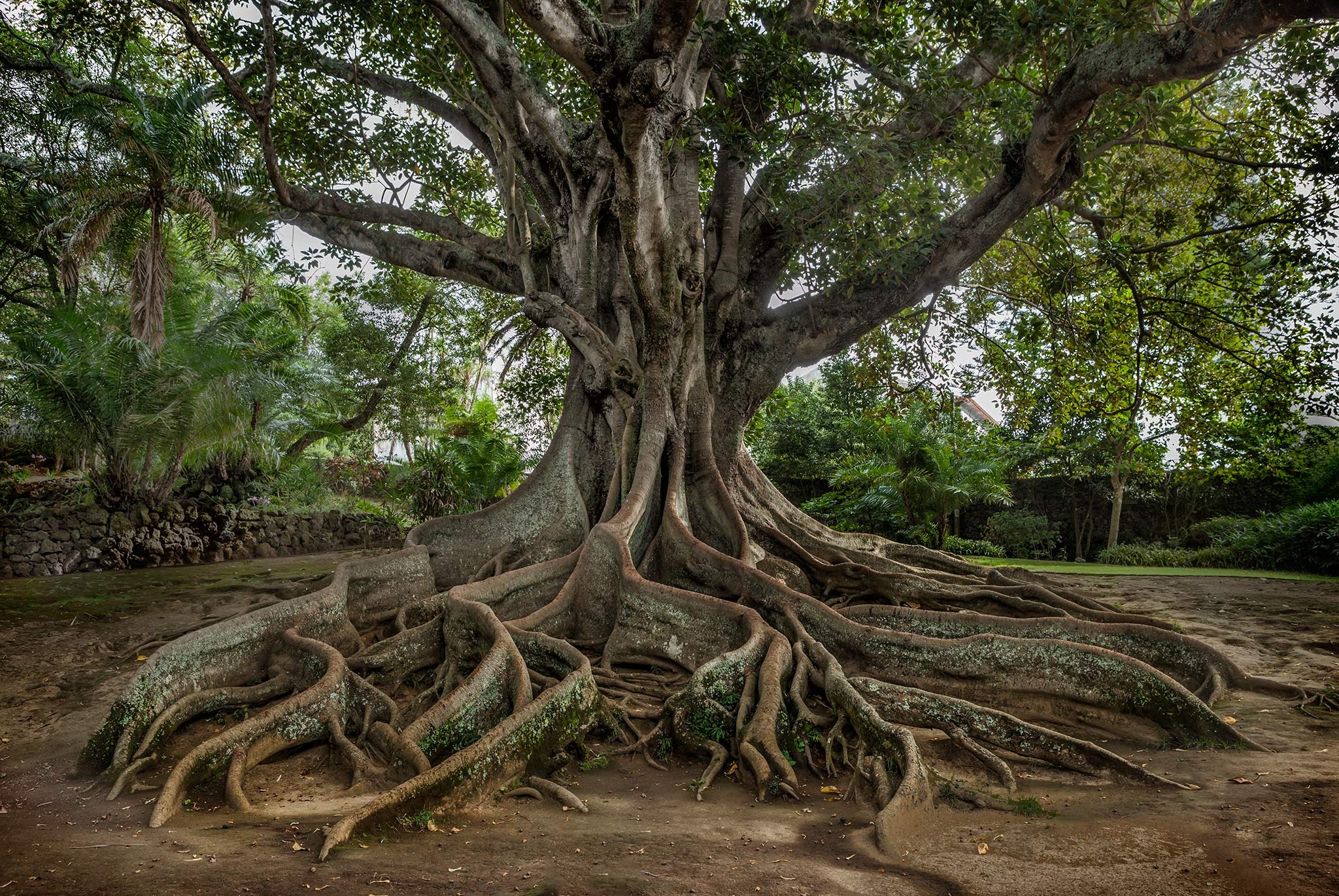 Giant roots by Canonmats