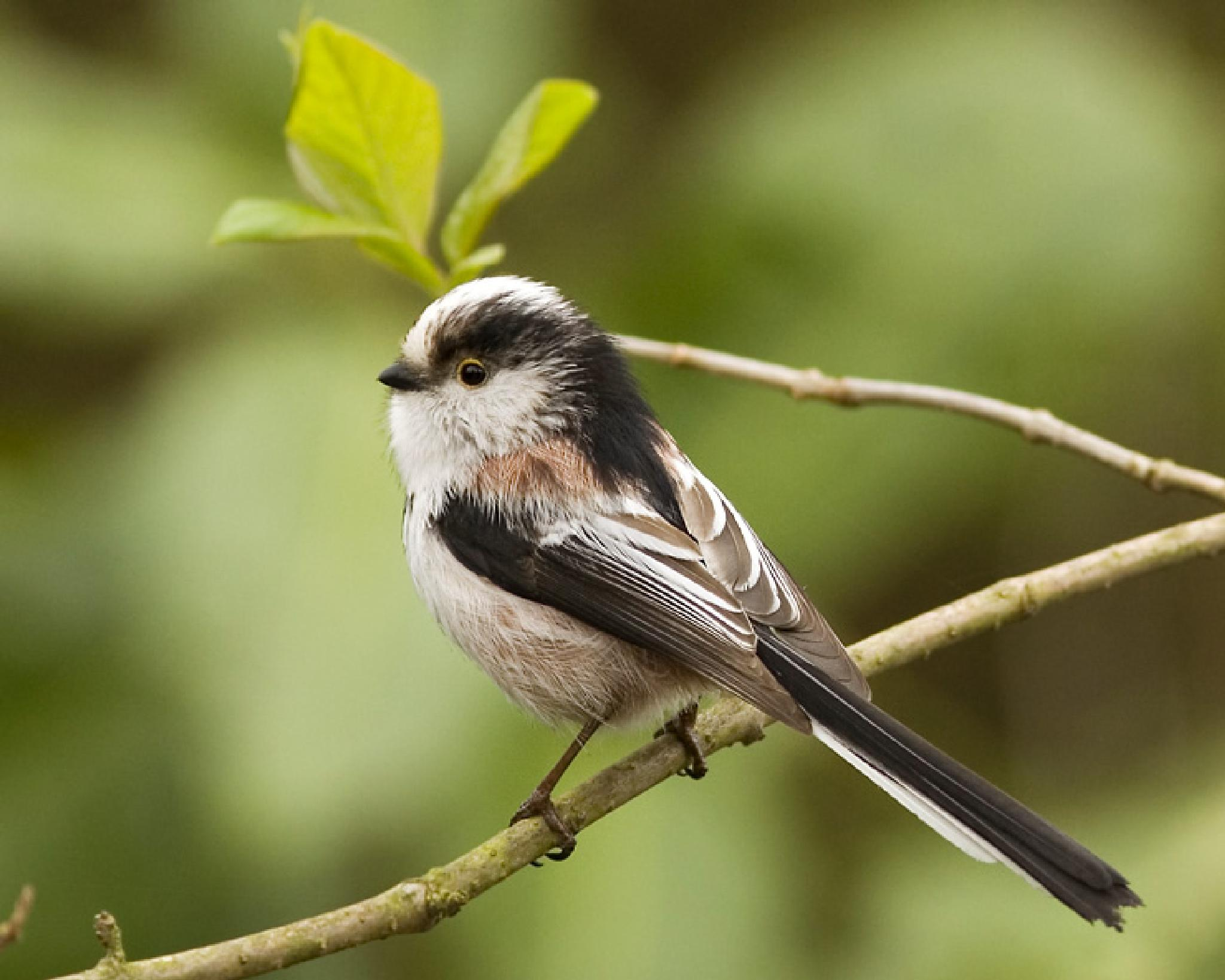 Long-tailed Tit by claudia.kort