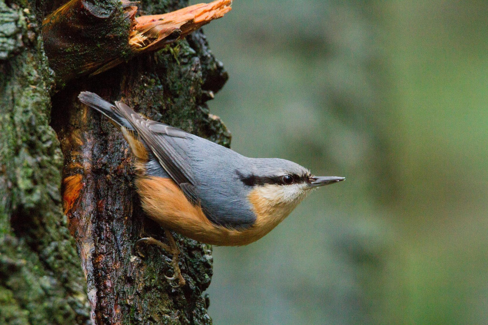 Nuthatch..... one of my favorites by claudia.kort