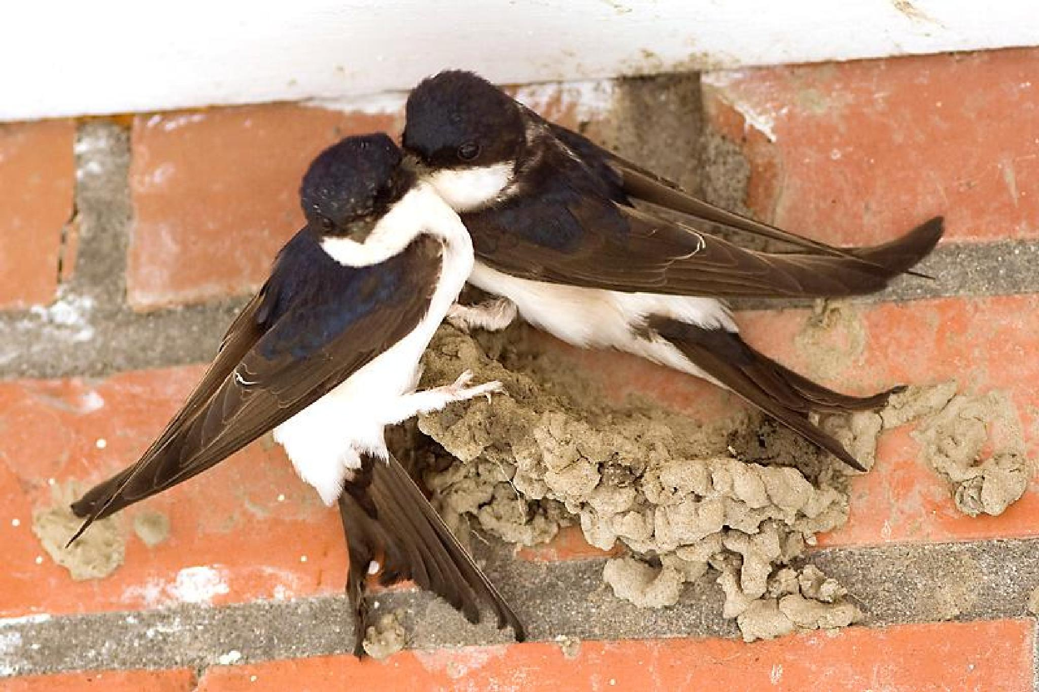 House-Martin building the're nest by claudia.kort