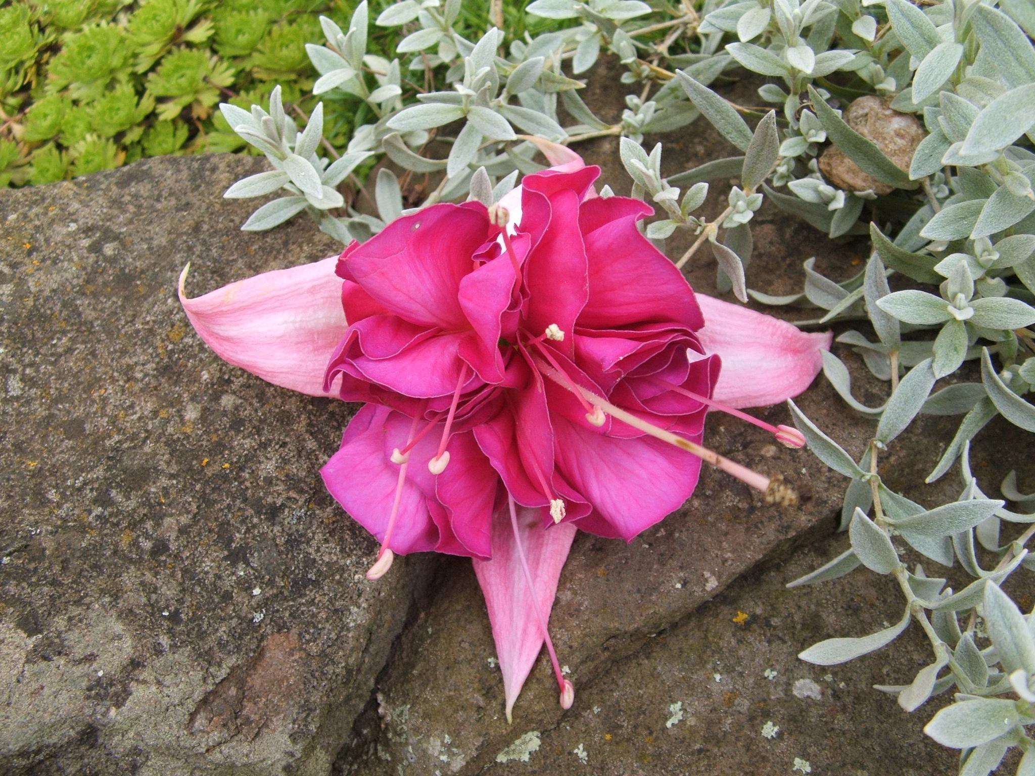 Flowers: Fuchsia's Elegant Folds by PirateKing