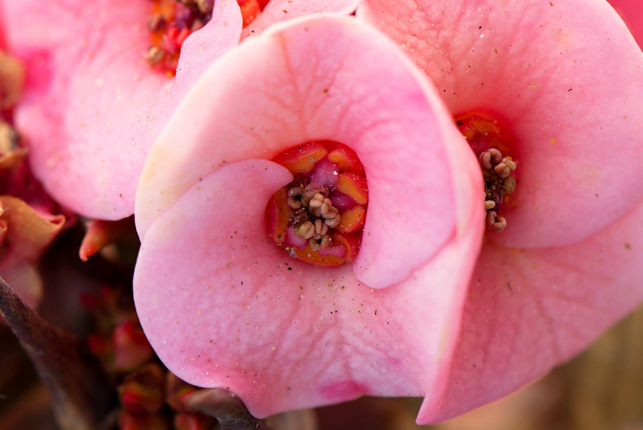 Desert Rose by Harrold Page