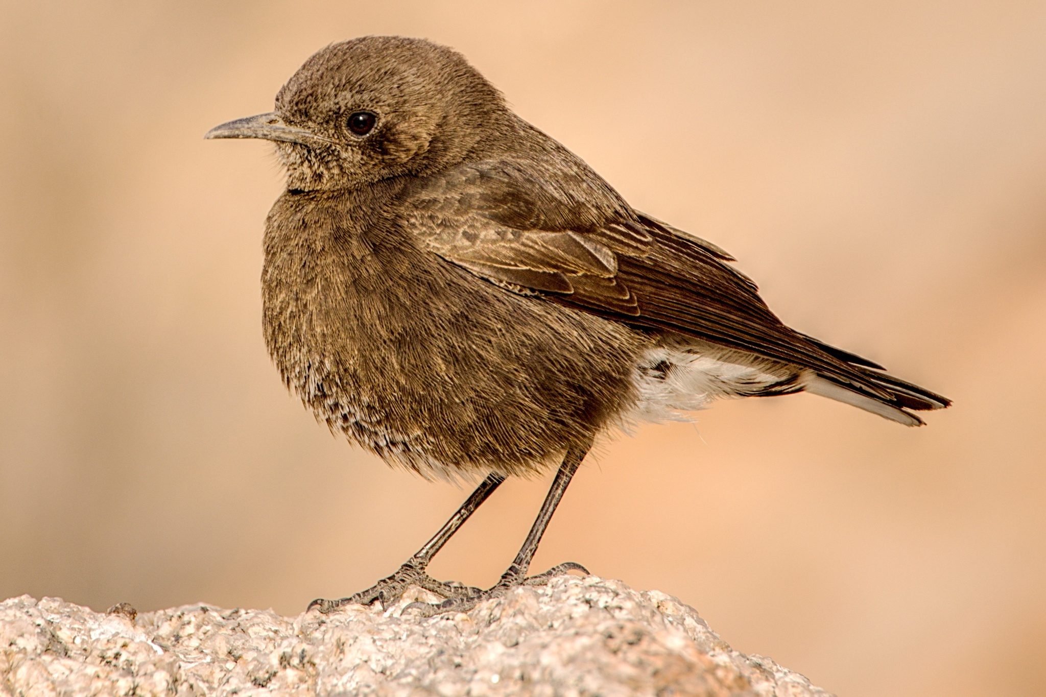 Juvenile Mountain Wheatear.  Occur in the Namib Desert by Harrold Page