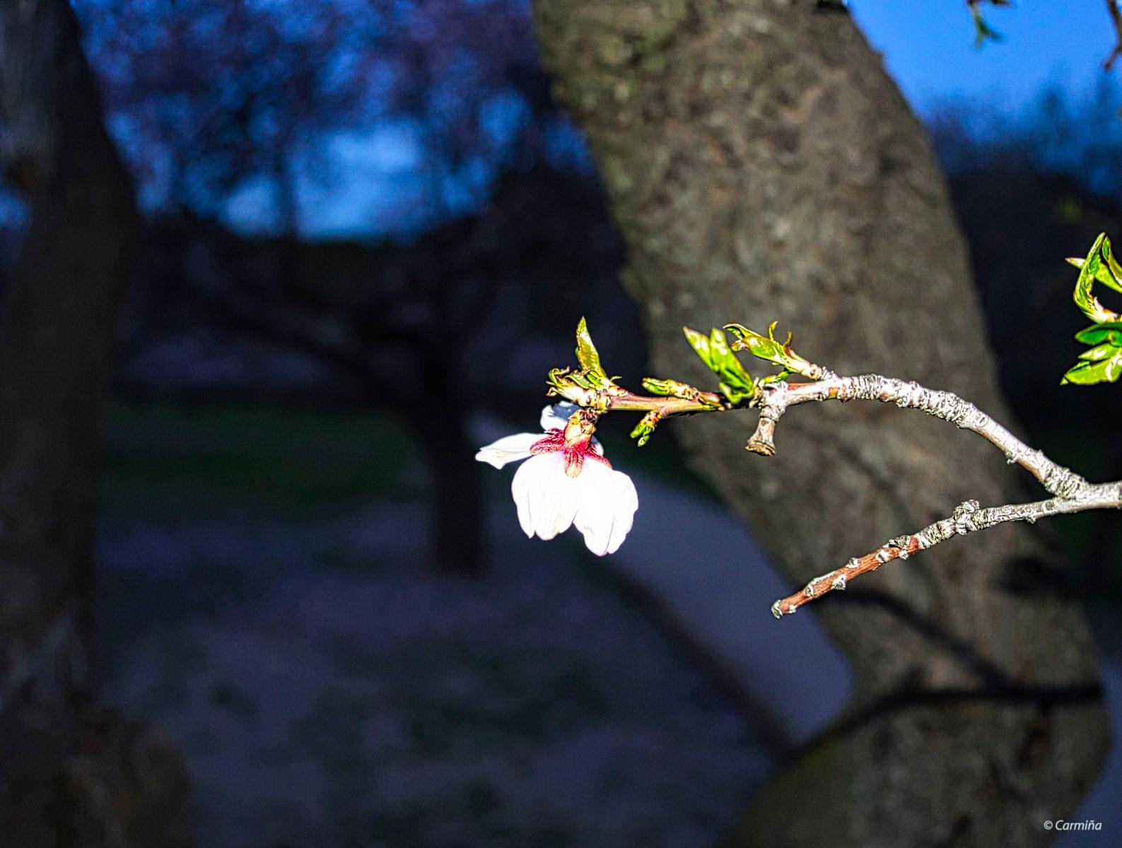 Flor de almendro 2 by carmina.waterstone