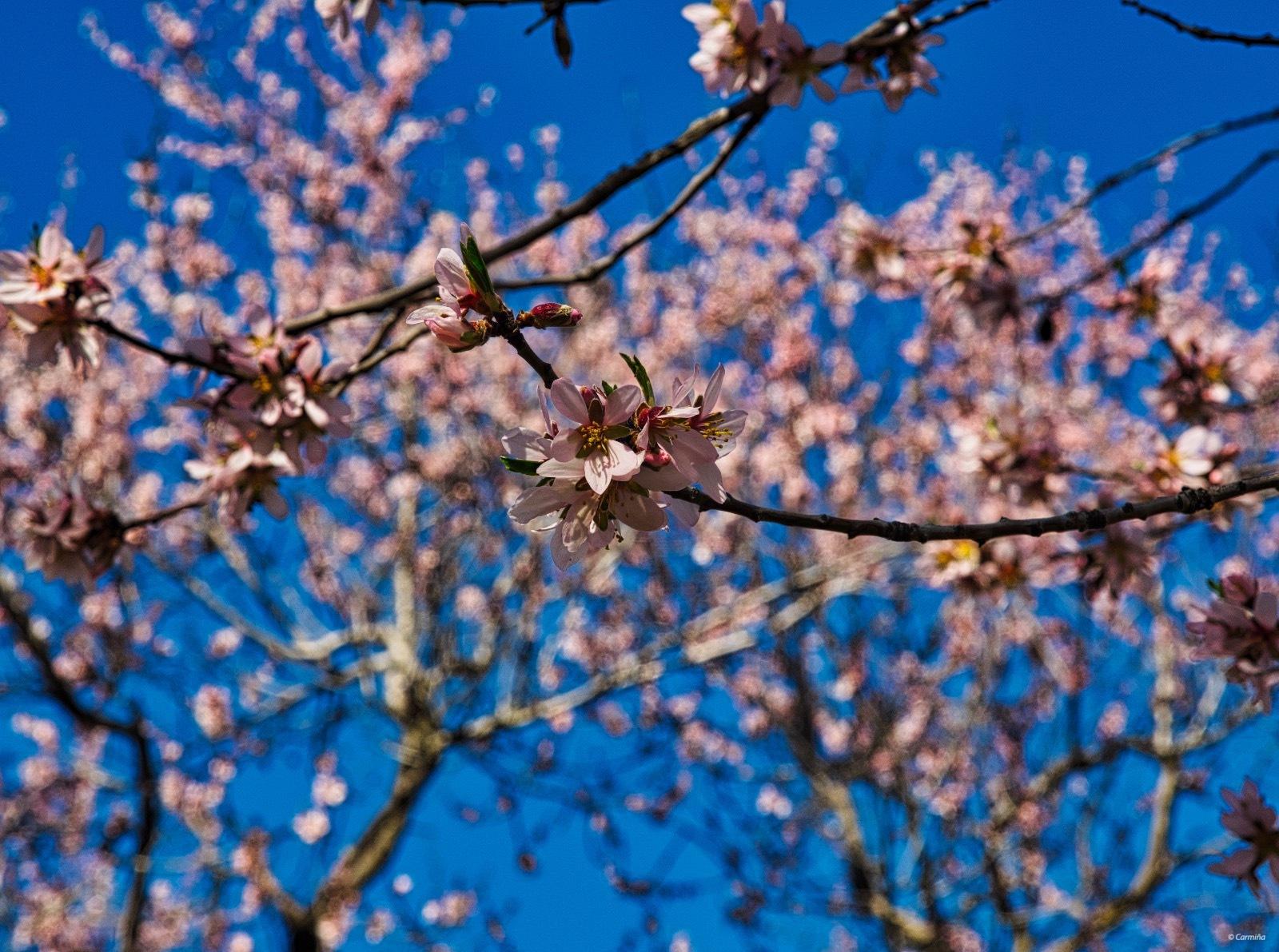 Flores de almendro by carmina.waterstone