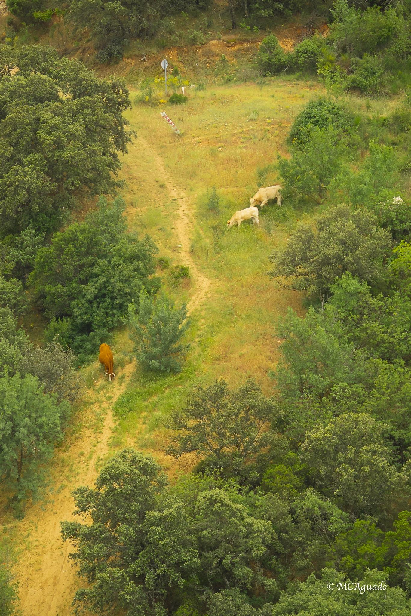 Paisaje con vacas blancas by carmina.waterstone